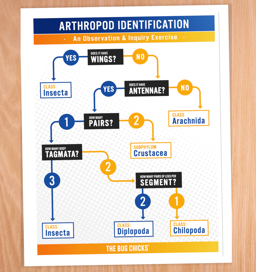 """Arthropod Identification Flowchart - How do we know that a dragonfly is an insect or that it is a dragonfly at all? This simple flowchart will inspire your students to OBSERVE before drawing conclusions based on """"stored knowledge."""" We teach the lesser known morphological differences: wings, # of antennae, body tagmata. This way, students don't rely on what they think they know.Laminate it and use it outside!"""