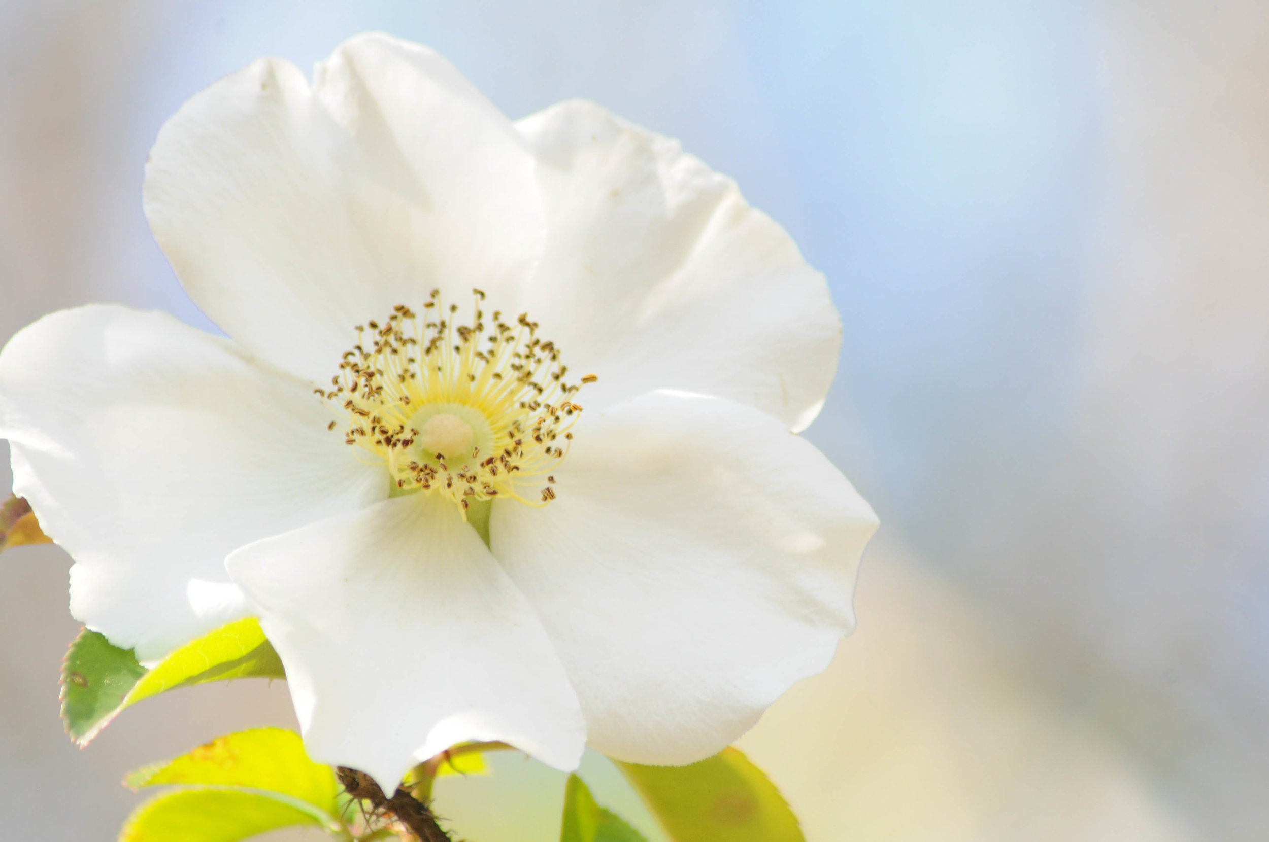 Cherokee Rose //  Rosa laevigata