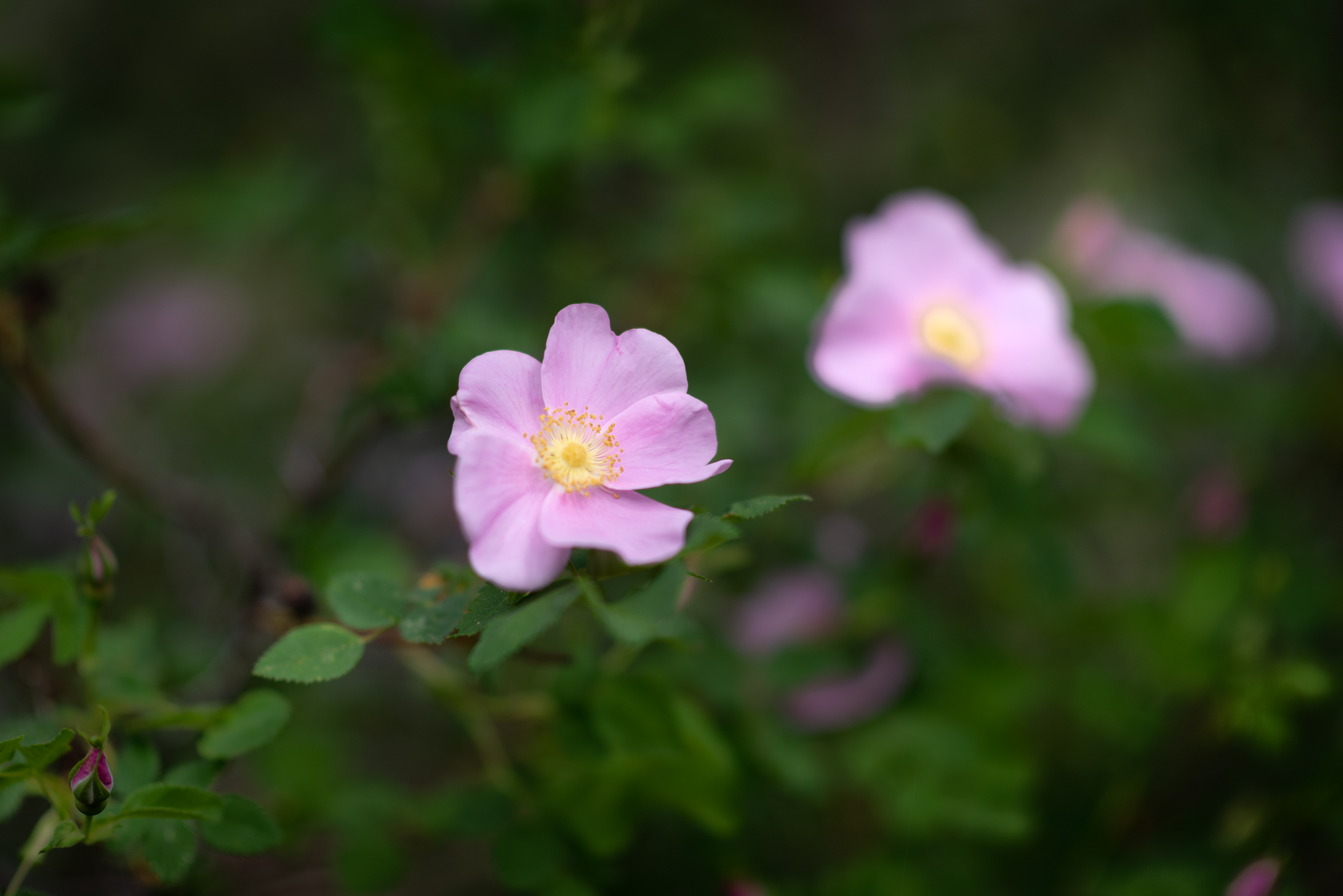 Wild Roses along the Metolius River