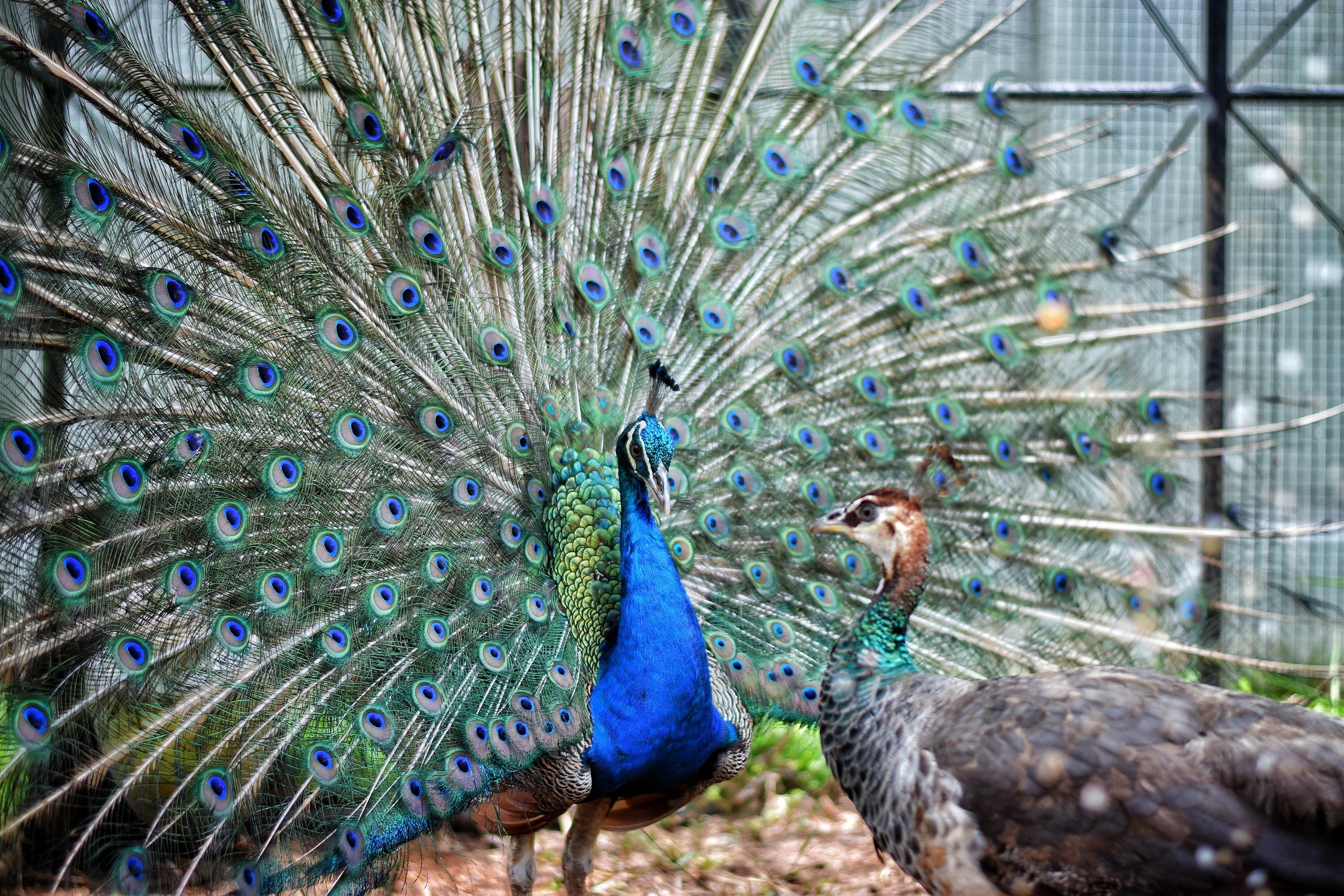 """@taychin_olwcw Look - a peacock giving zero shits about showing it's authentic wears to its prospective market. No faux humility here. """"What these old things? Oh they're nothing"""". Entirely appropriate display."""
