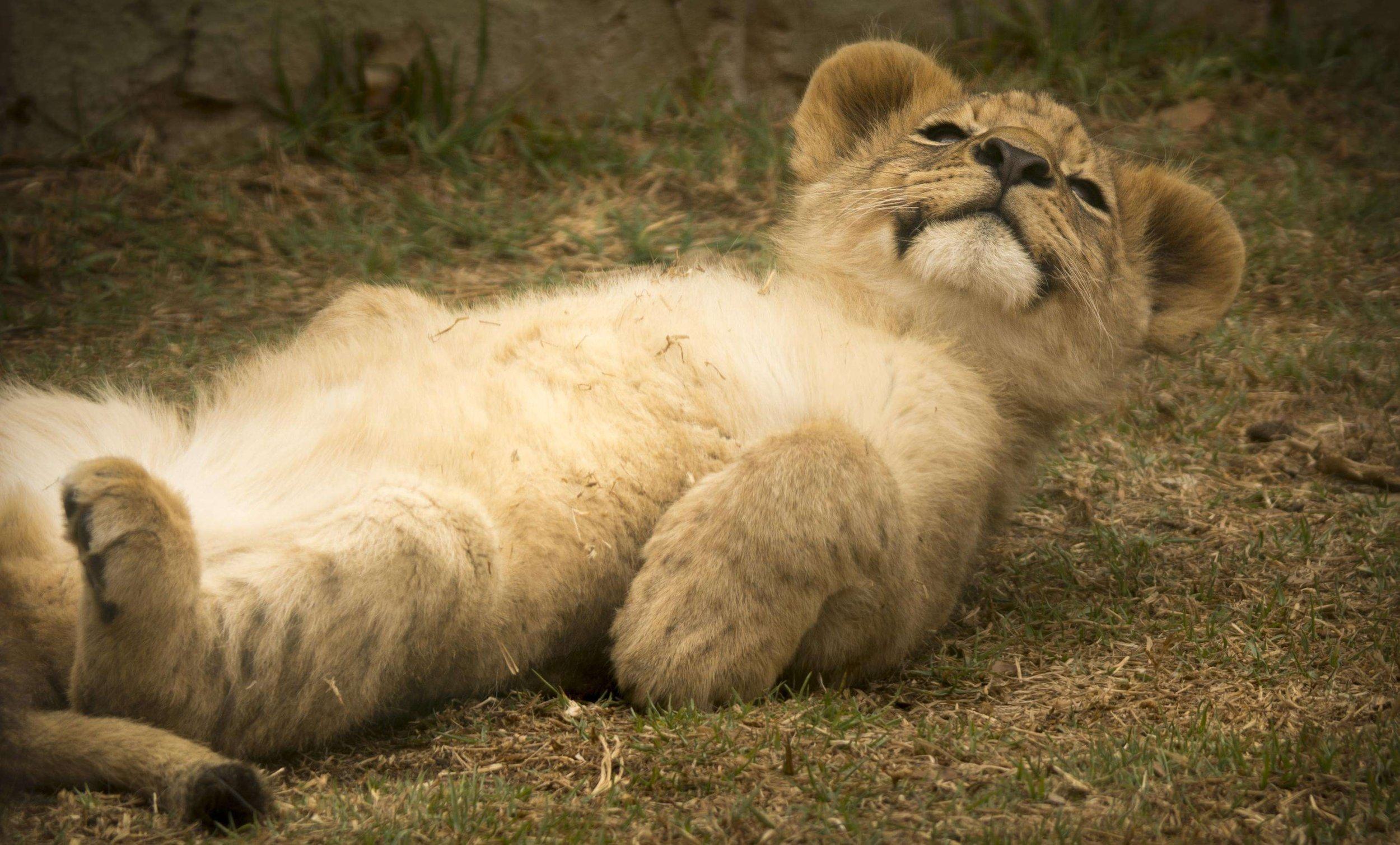 lion-cub-2818957.jpg