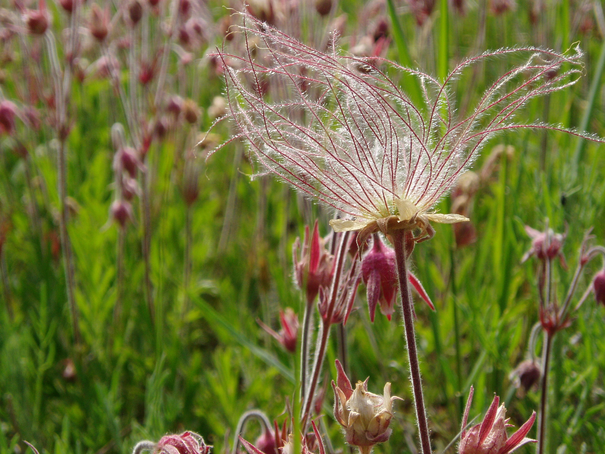 Prairie Smoke is one of the first spring natives to bloom