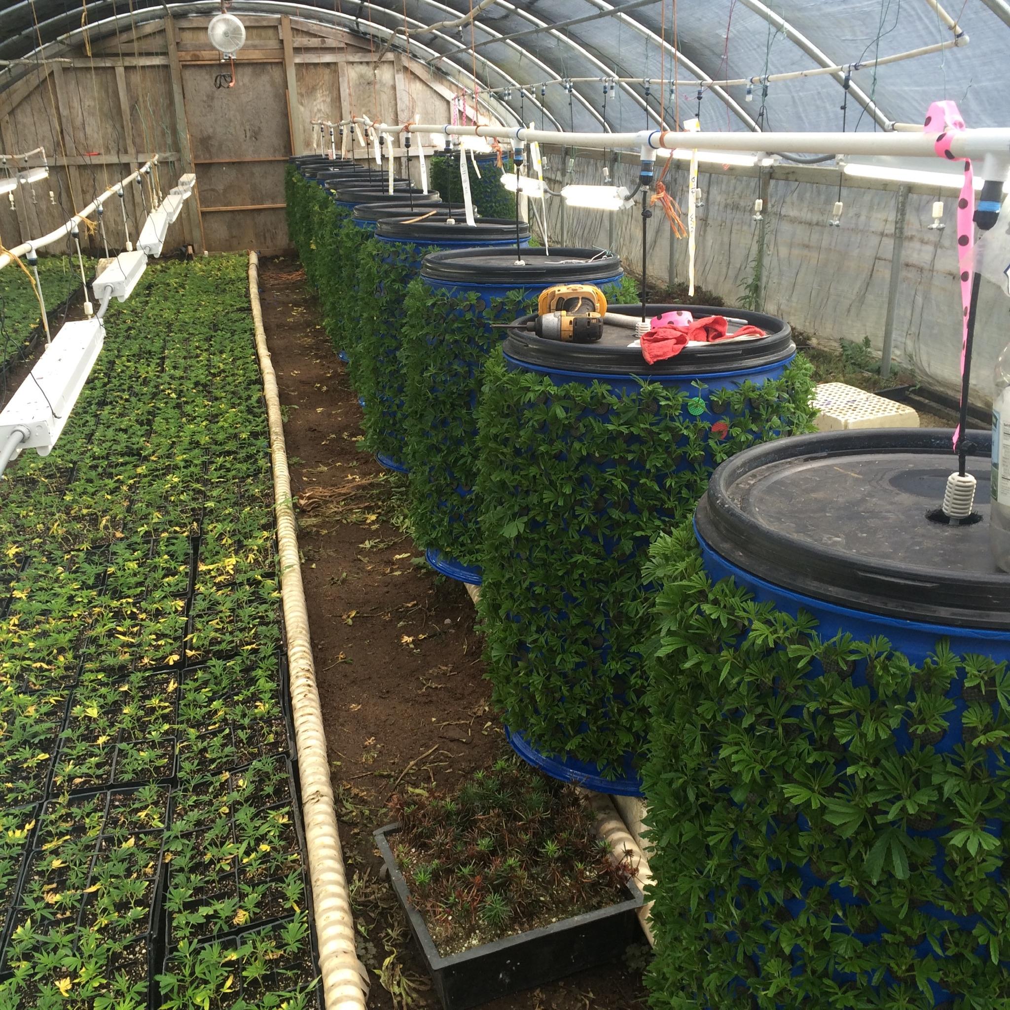 Hemp Clones - In Greenhouse 1