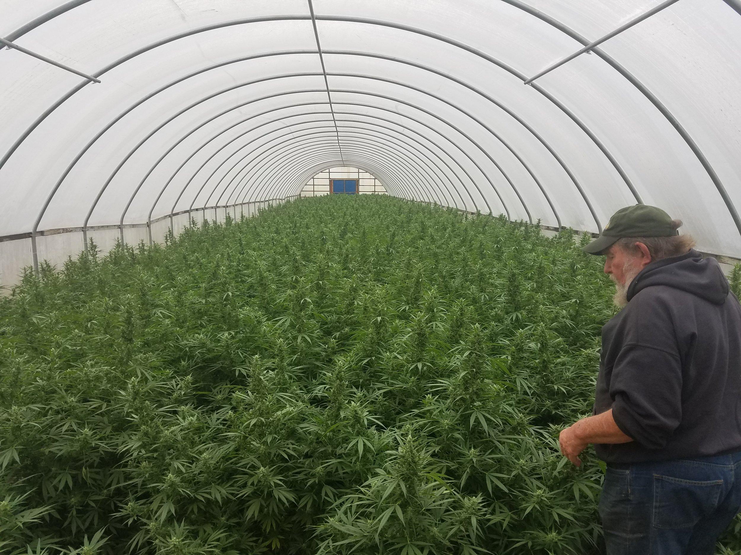 Hemp Clones - In Greenhouse 2
