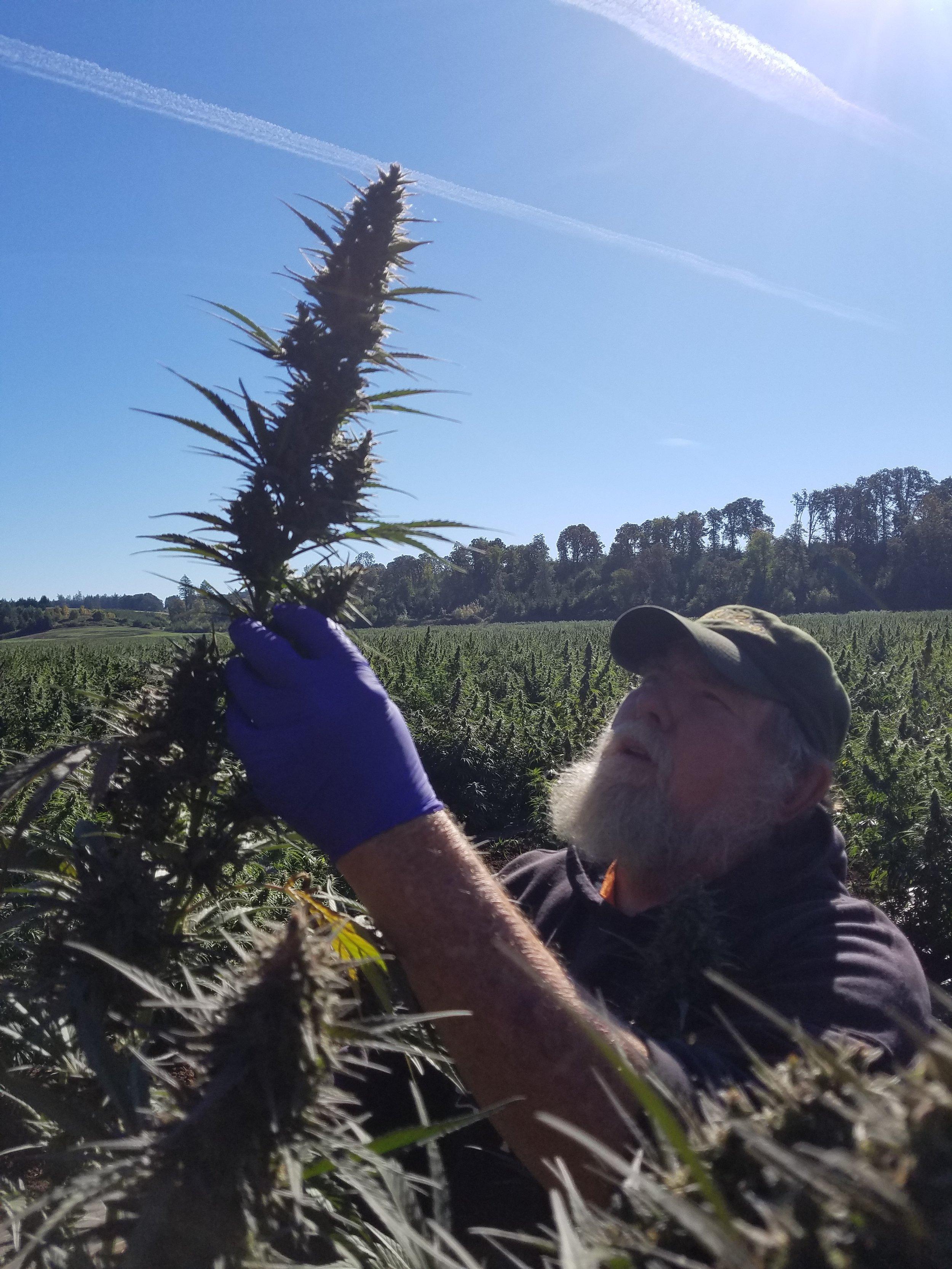 Biomass - Hemp In Field 4