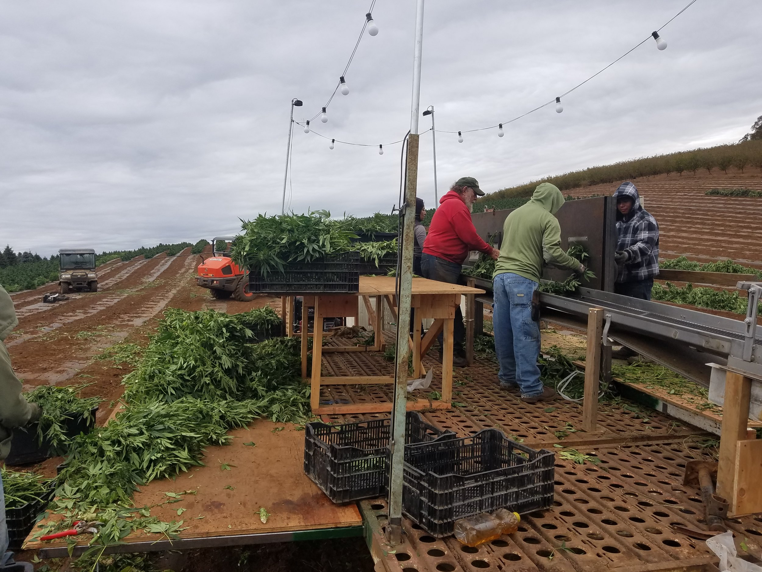Harvest - Hemp Hand Harvest