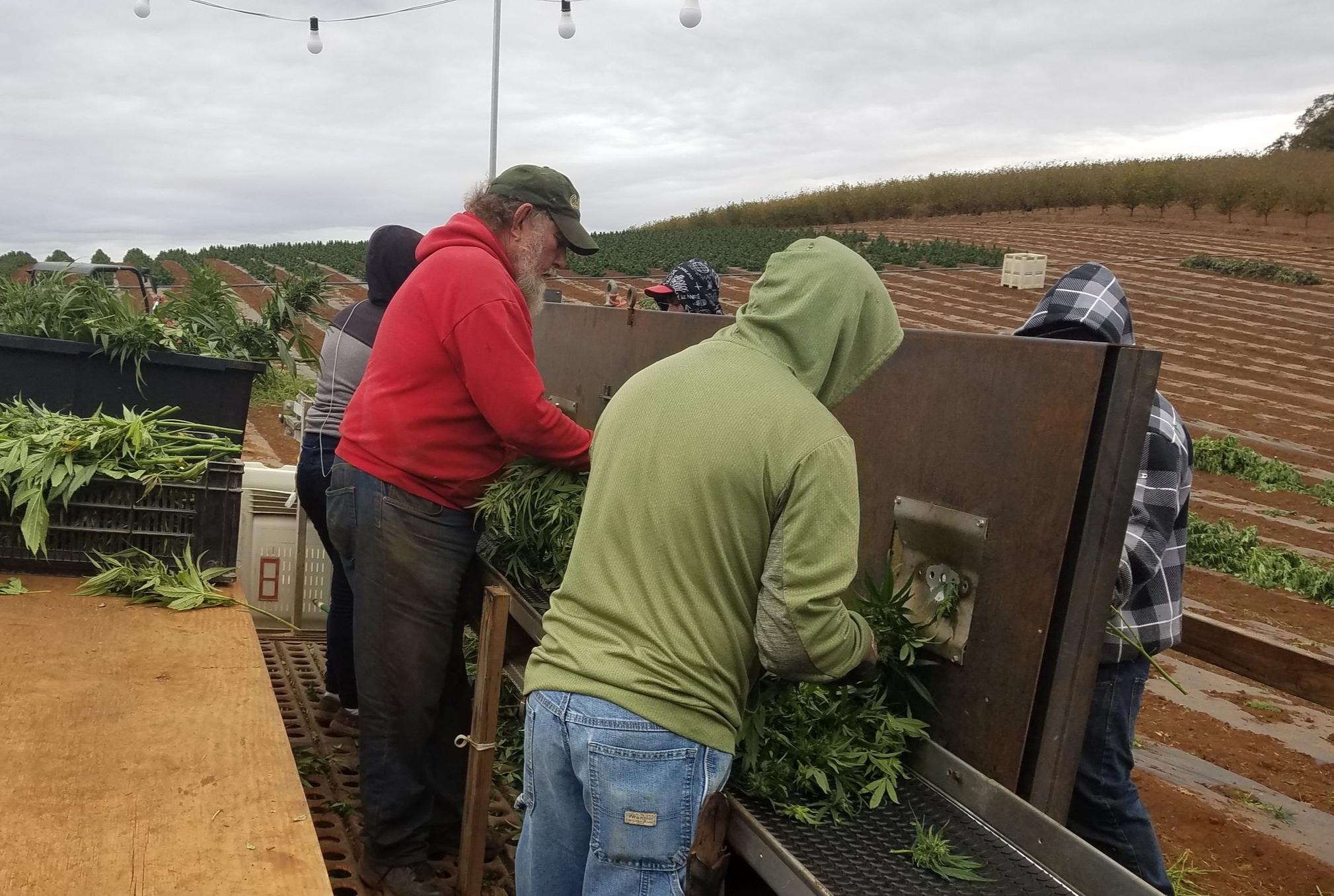 Harvest - Hemp Hand Harvest 2
