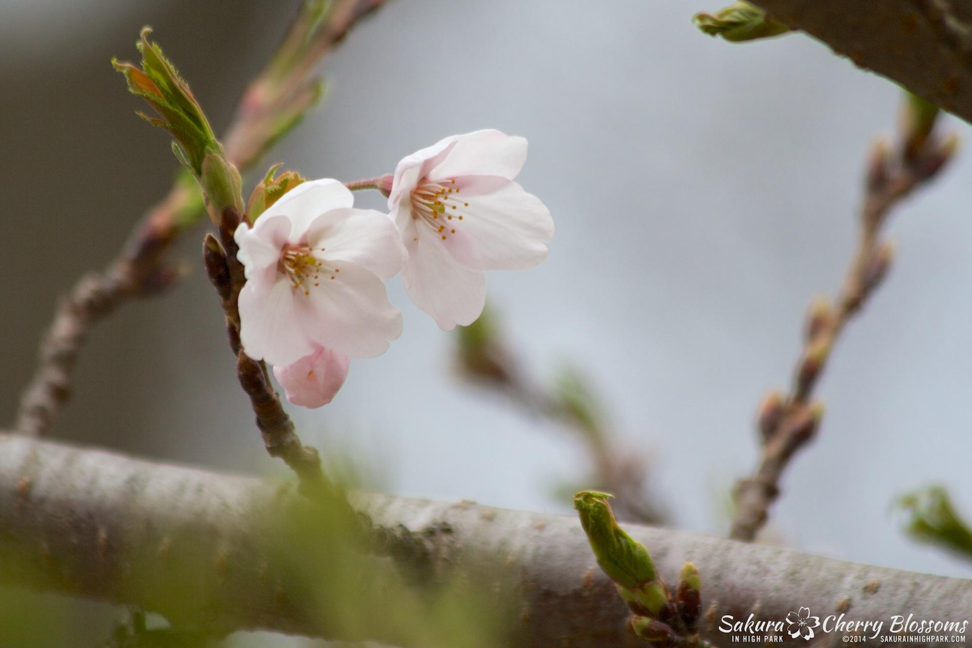 SakuraInHighPark-May0914-388.jpg