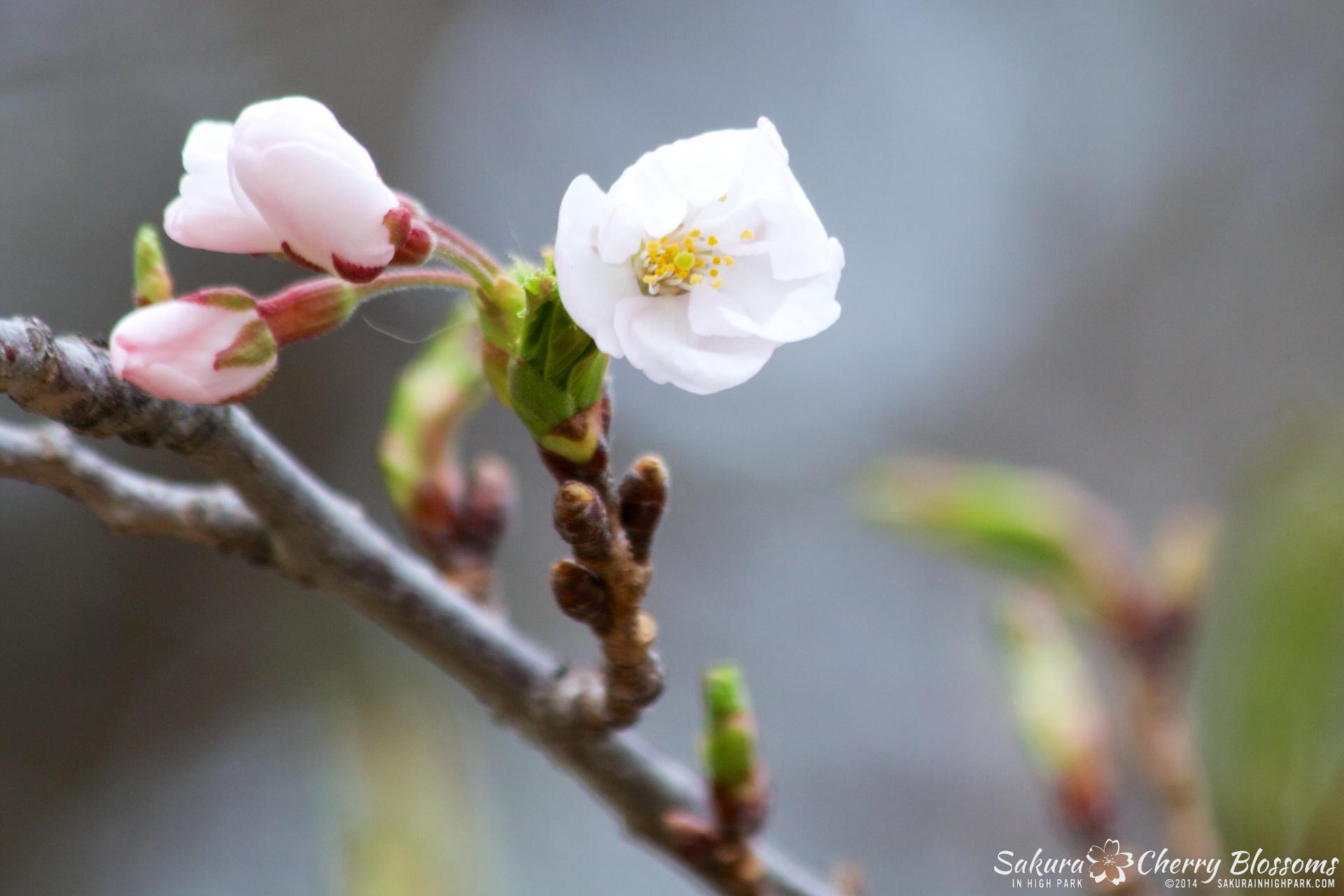 SakuraInHighPark-May0914-377.jpg
