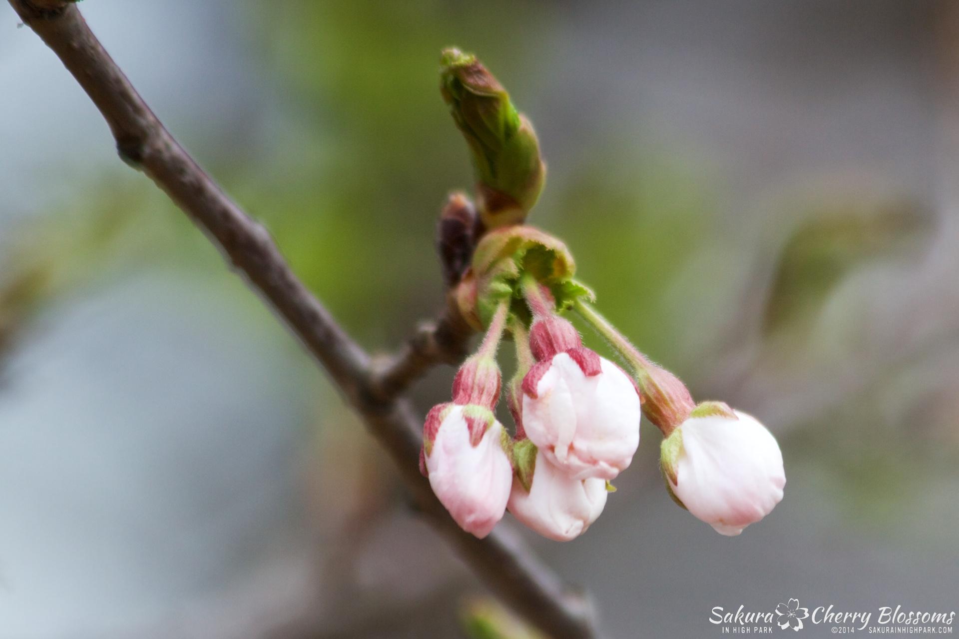 SakuraInHighPark-May0914-360.jpg