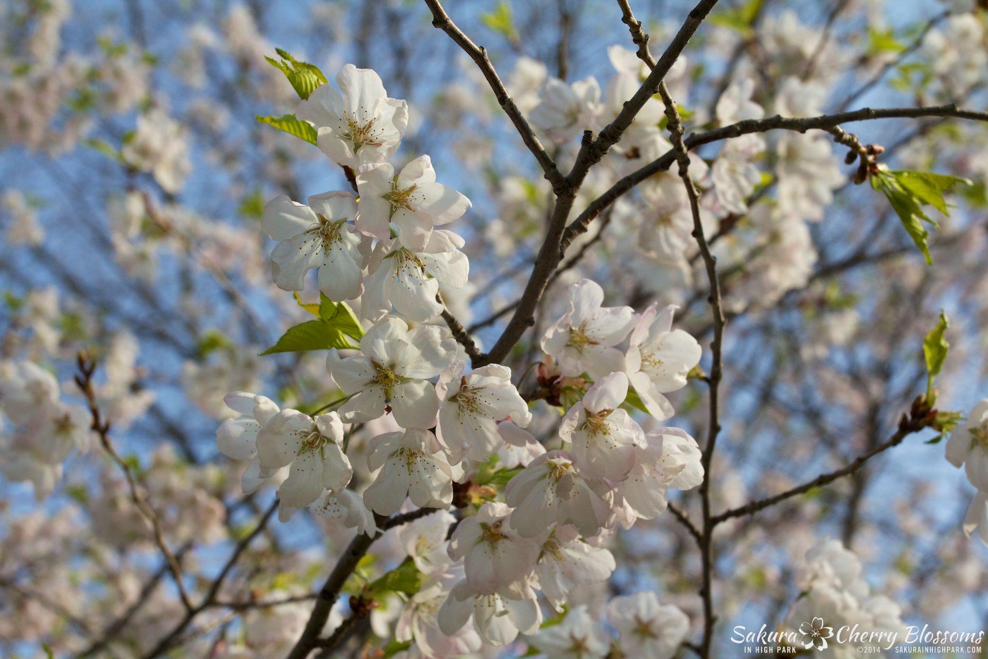 SakuraInHighPark-May1314-352.jpg