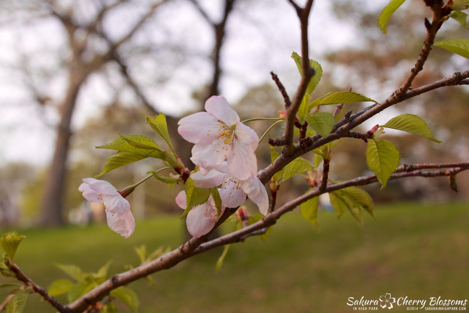 SakuraInHighPark-May1314-485.jpg