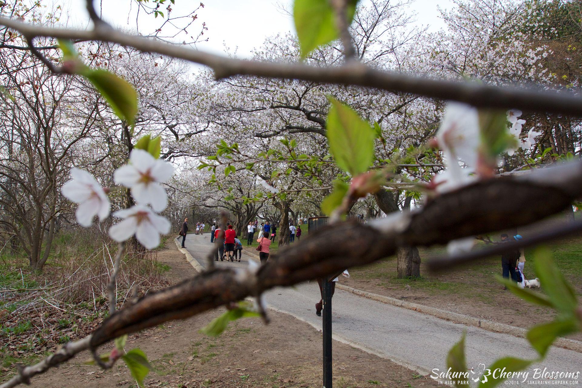 SakuraInHighPark-May1314-470.jpg