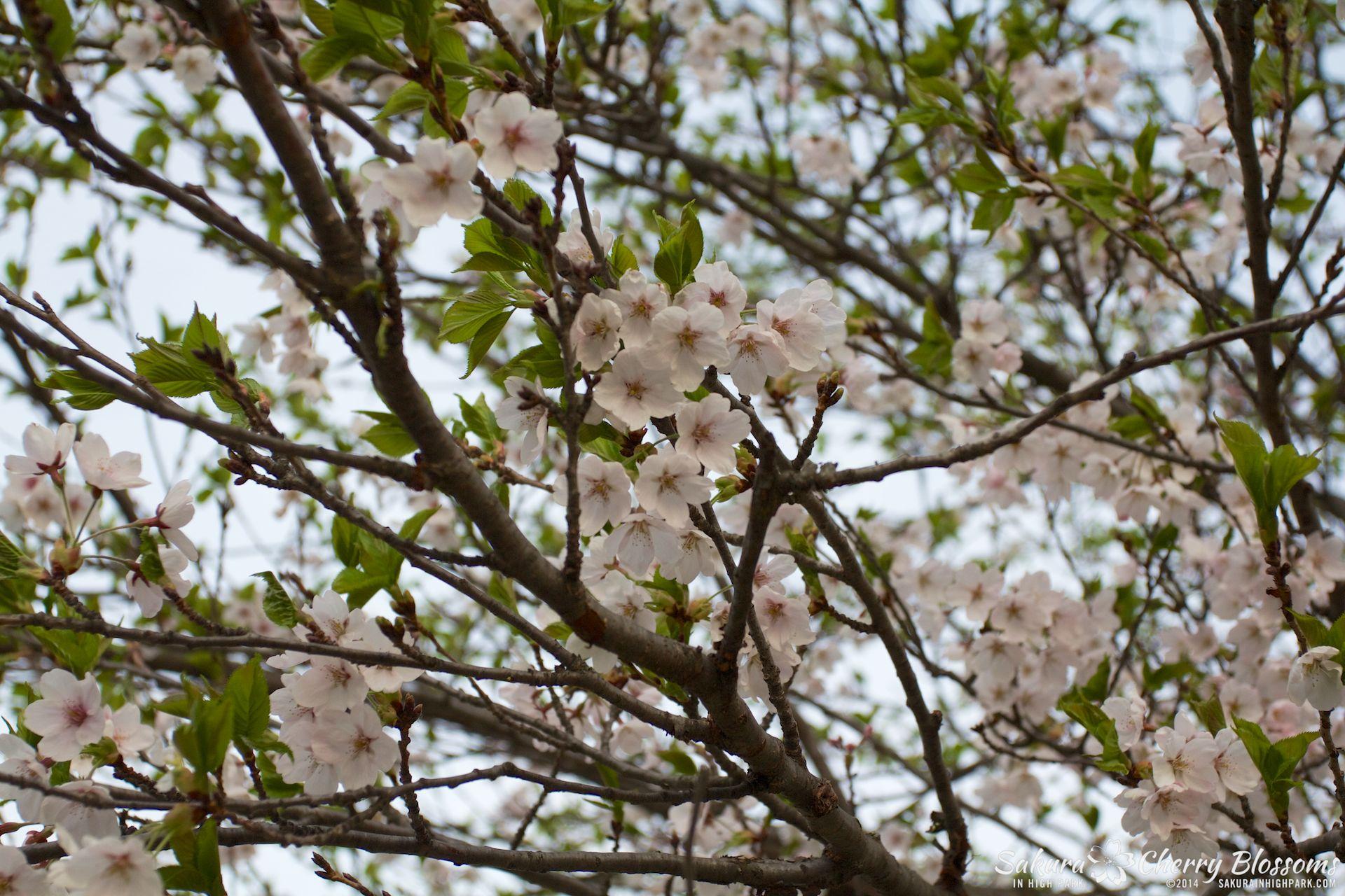 SakuraInHighPark-May1314-537.jpg
