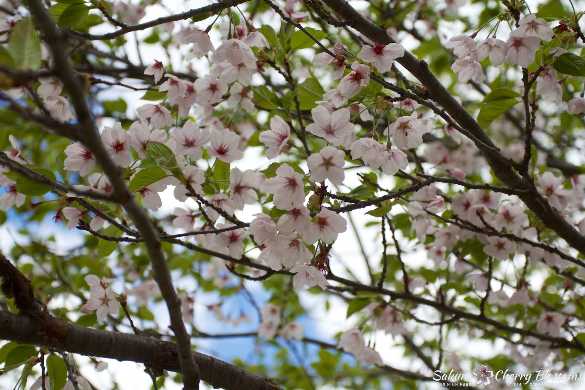 SakuraInHighPark-May1614-350.jpg