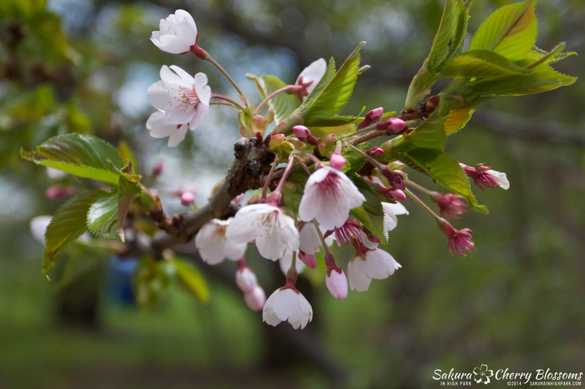 SakuraInHighPark-May1614-425.jpg