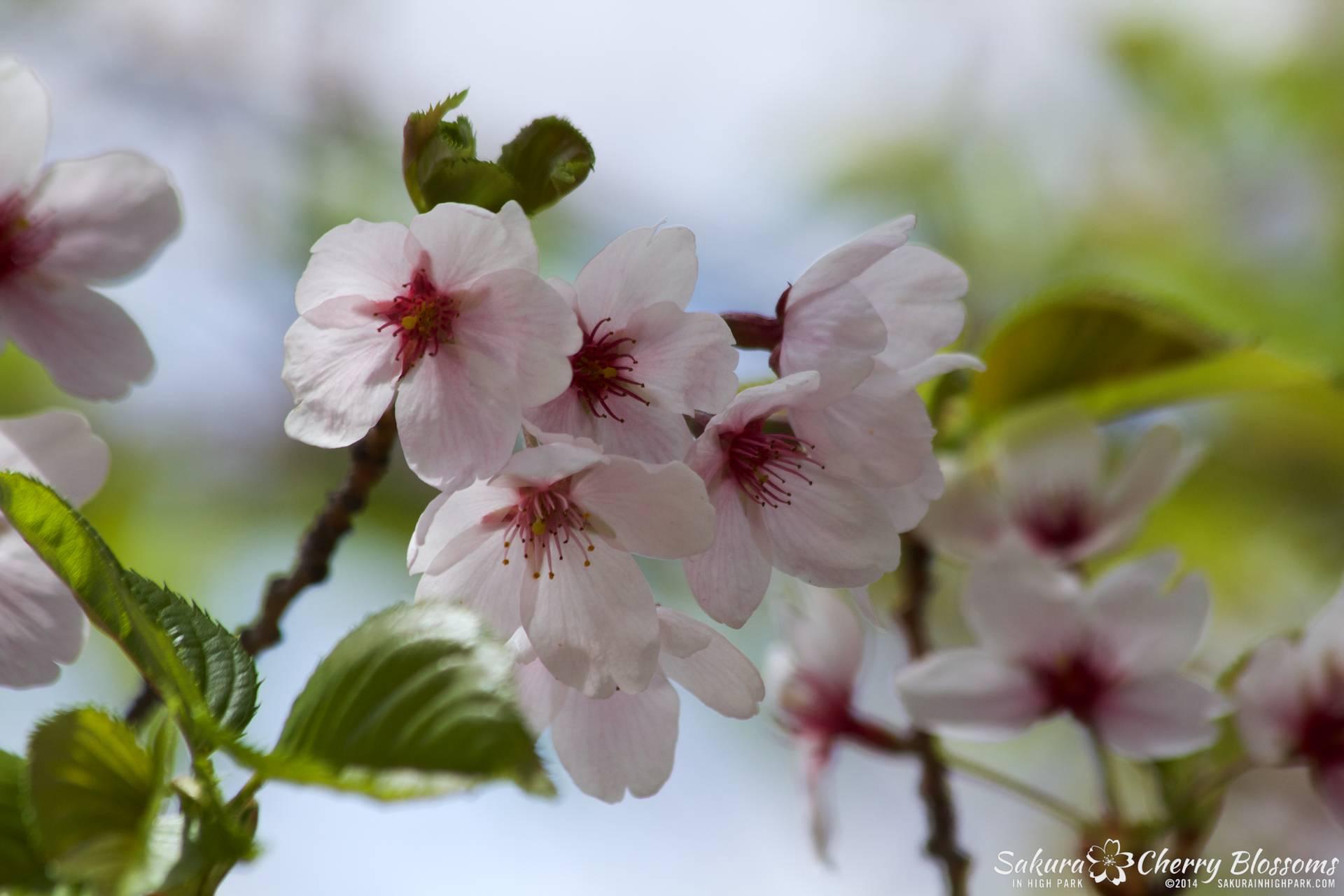 SakuraInHighPark-May1614-547.jpg