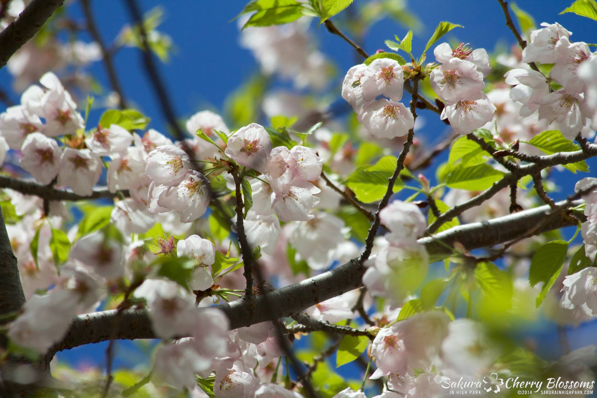 SakuraInHighPark-May1614-648.jpg