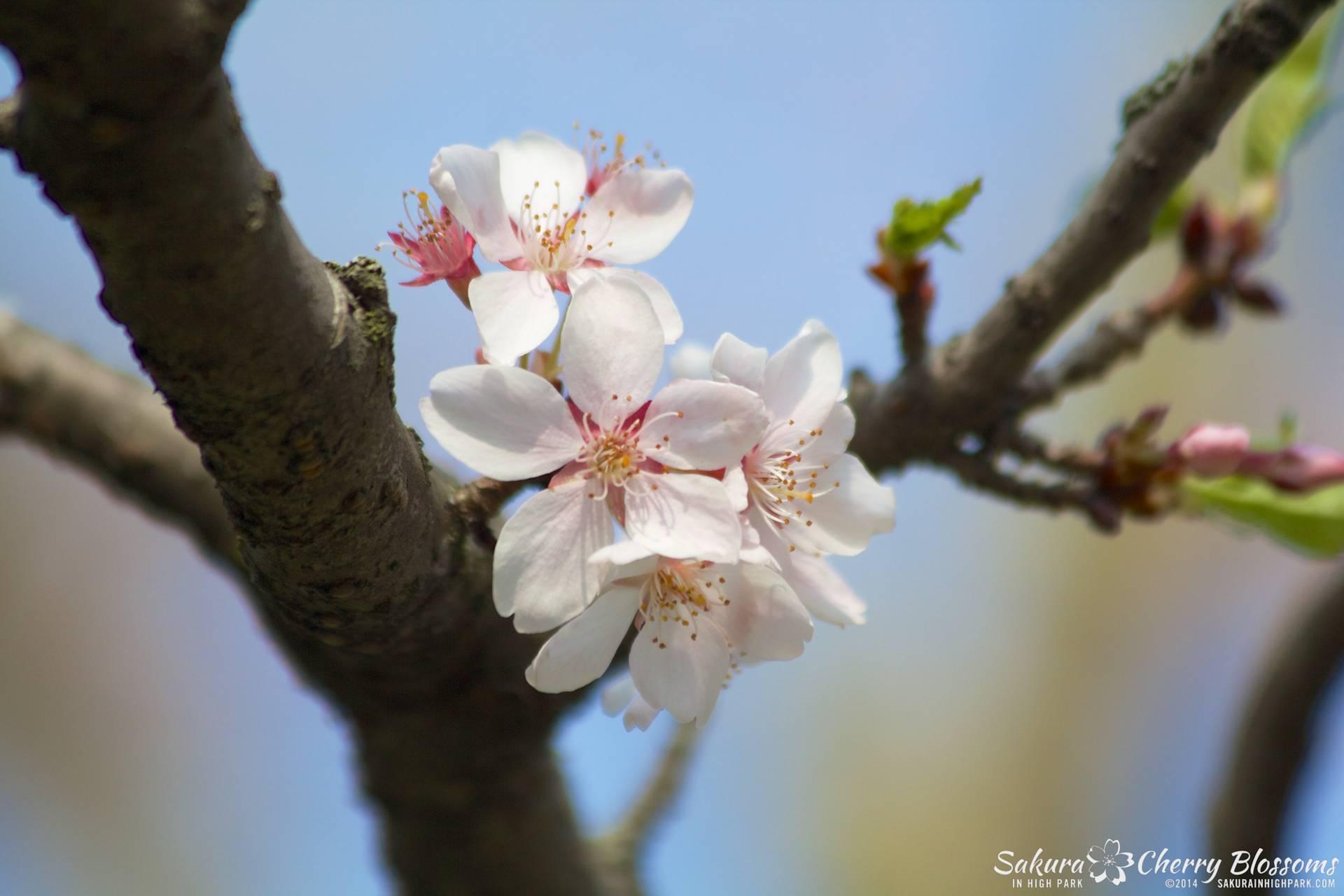 SakuraInHighPark-May2114-412.jpg