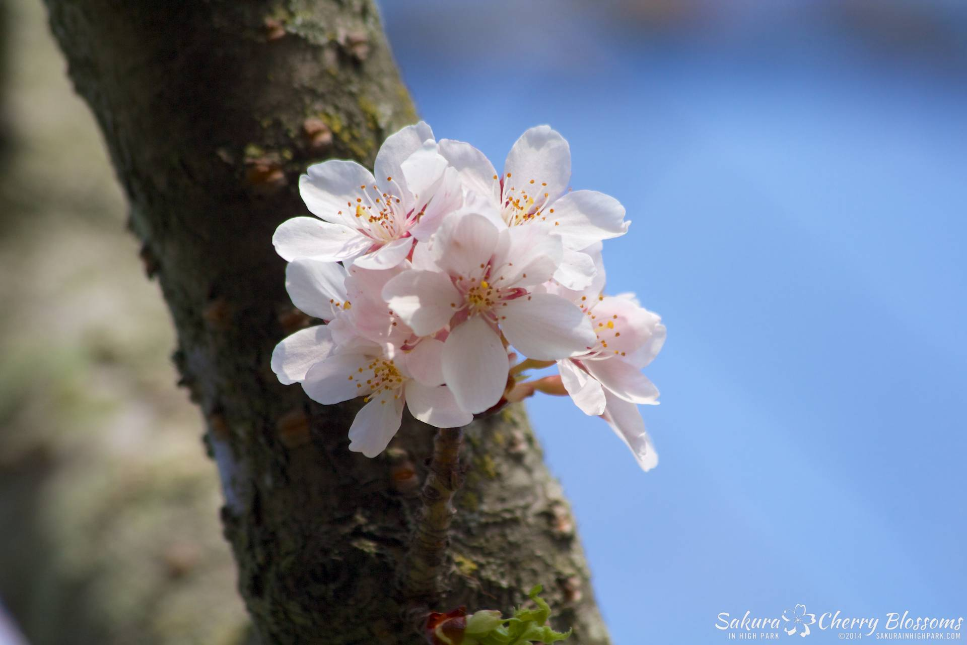 SakuraInHighPark-May2114-425.jpg