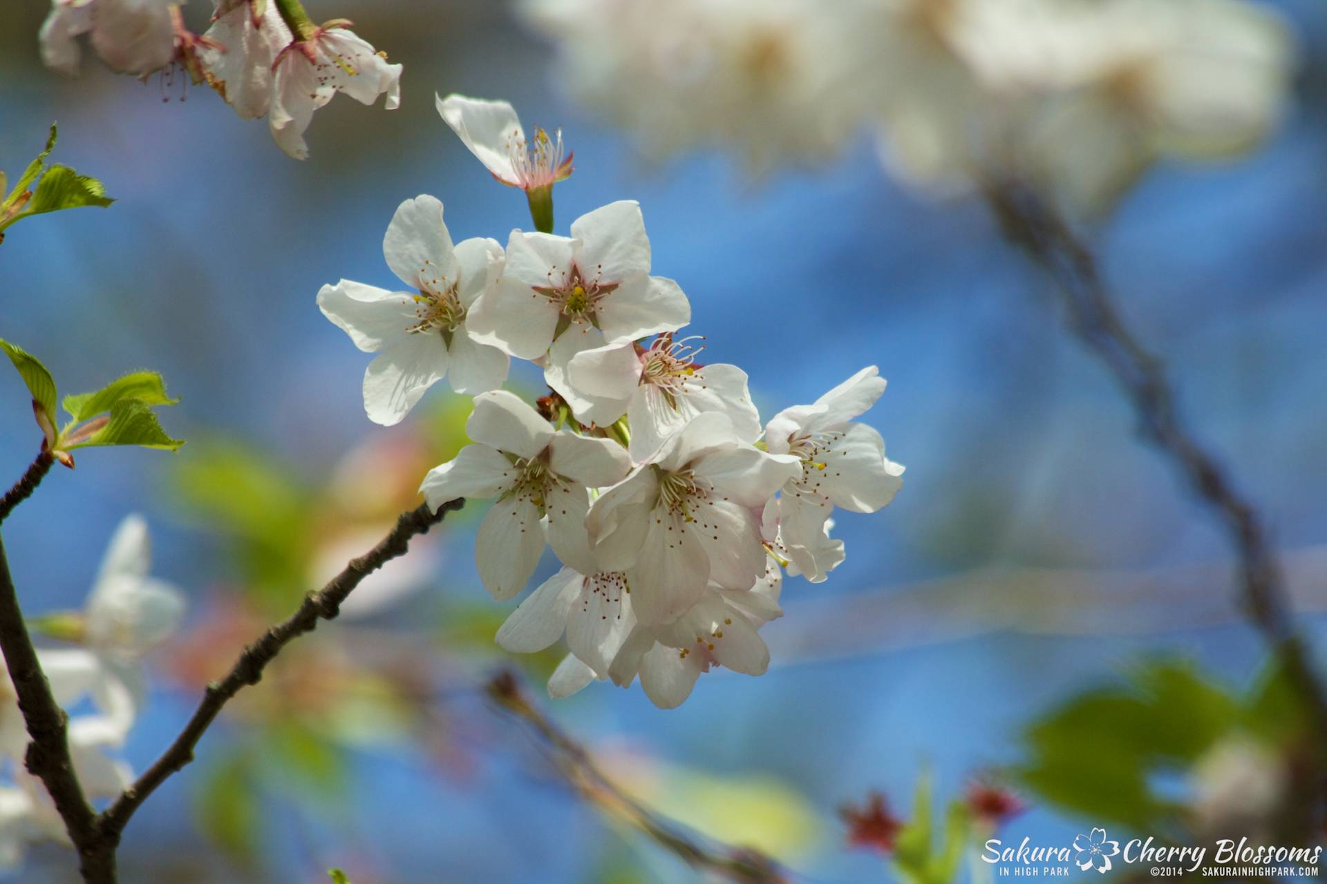 SakuraInHighPark-May2114-447.jpg