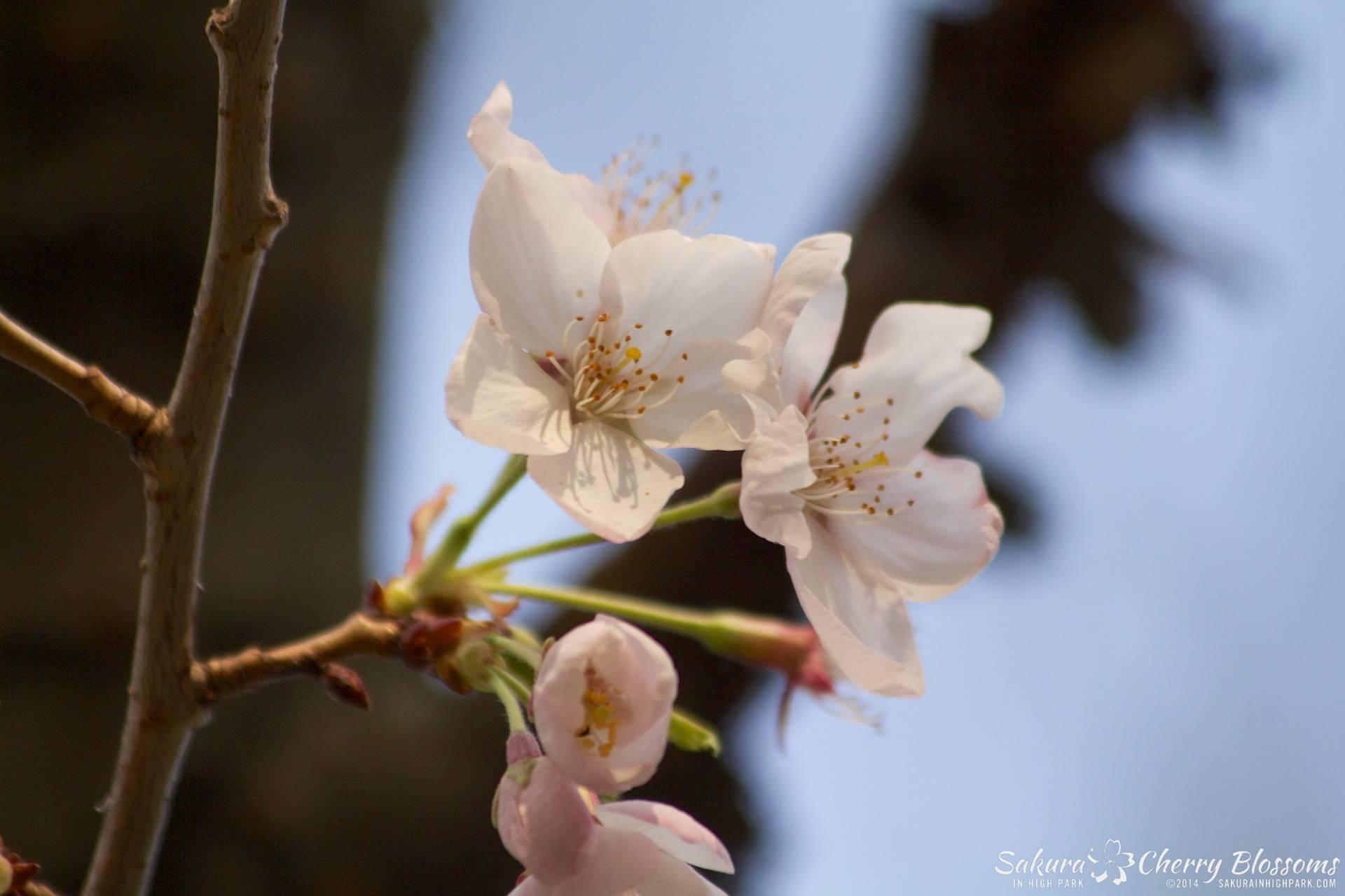 SakuraInHighPark-May2114-474.jpg