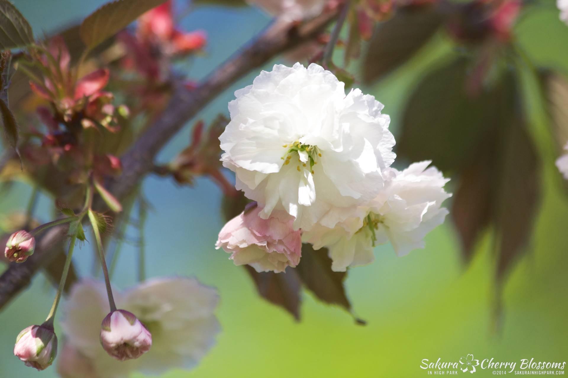 SakuraInHighPark-May2414-472.jpg