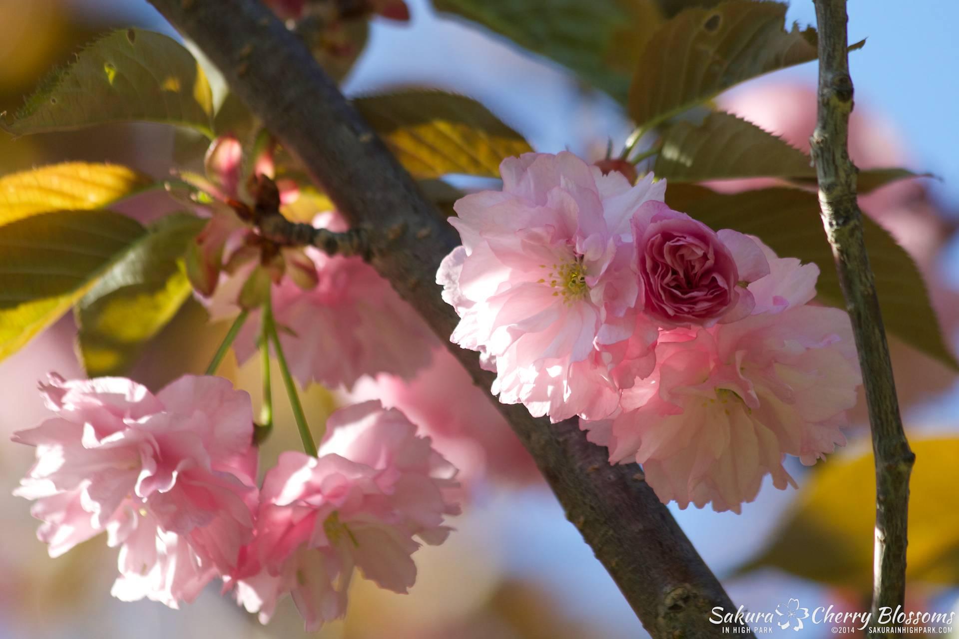 SakuraInHighPark-May2414-515.jpg