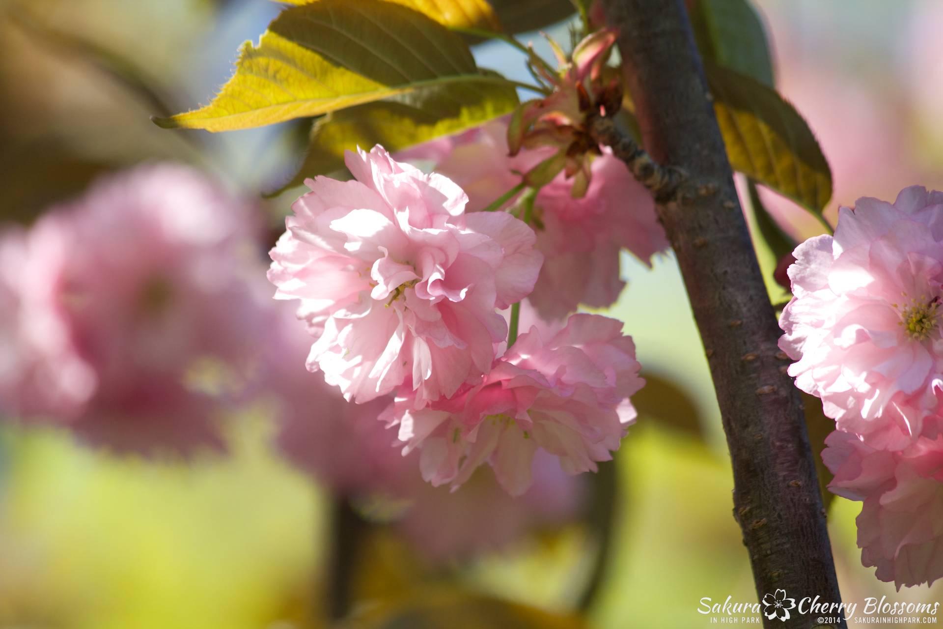 SakuraInHighPark-May2414-510.jpg