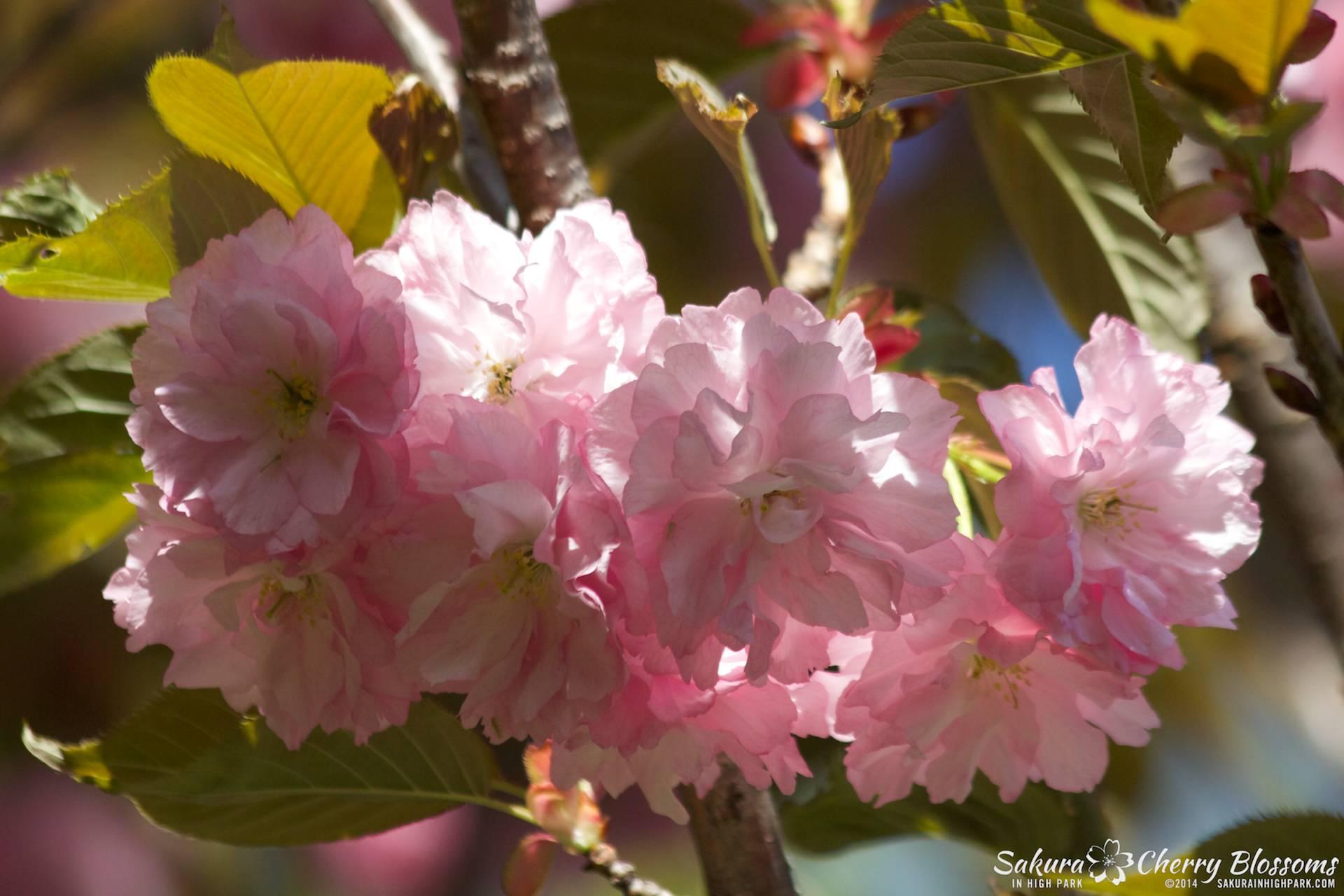 SakuraInHighPark-May2414-503.jpg