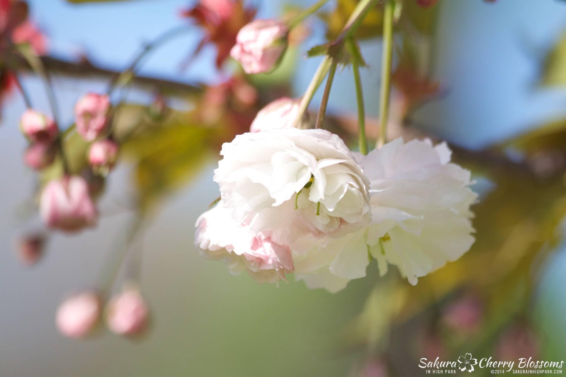 SakuraInHighPark-May2414-447.jpg