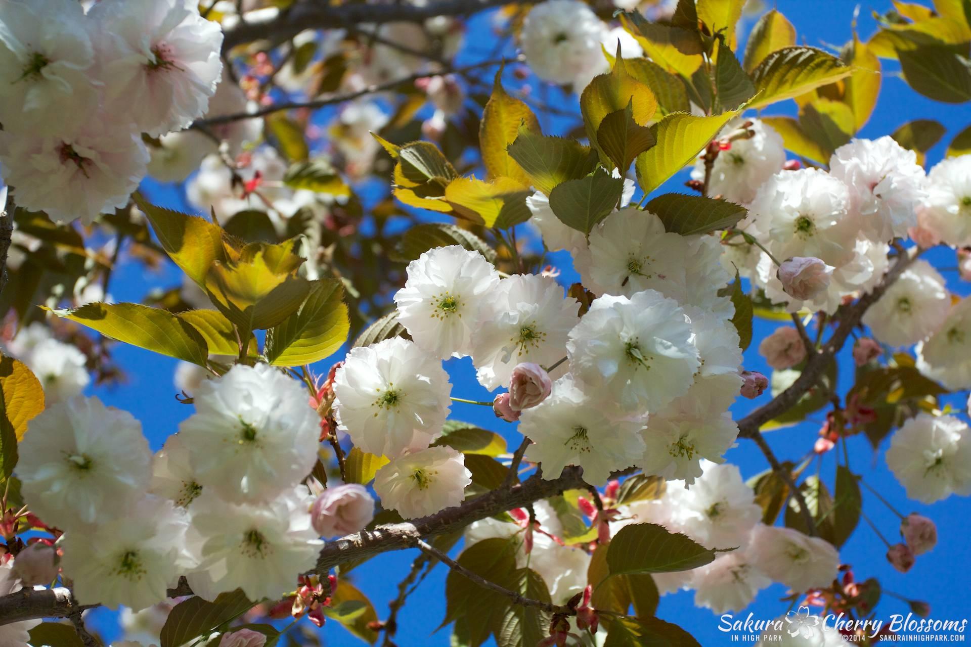 SakuraInHighPark-May2414-413.jpg