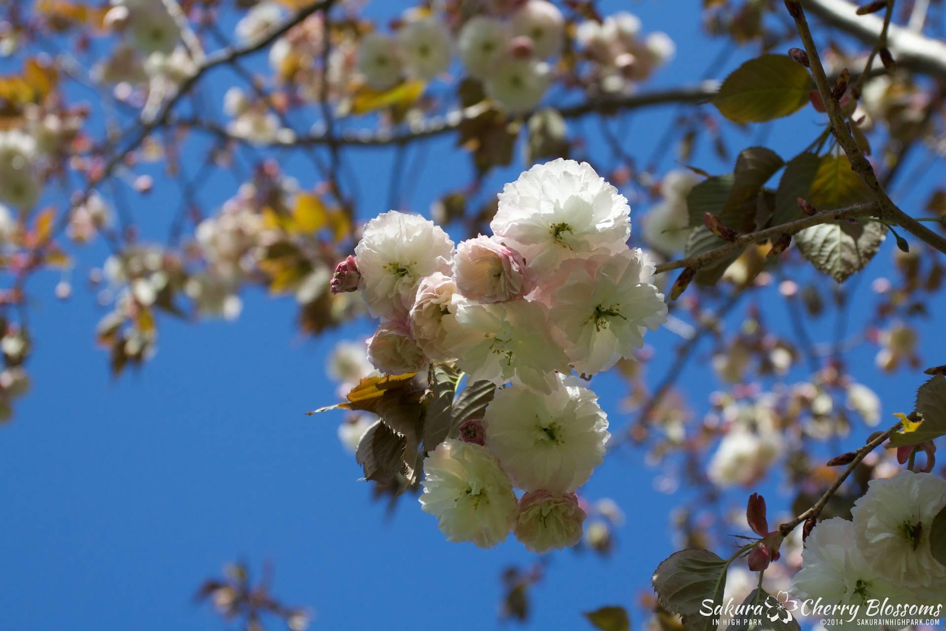 SakuraInHighPark-May2414-420.jpg