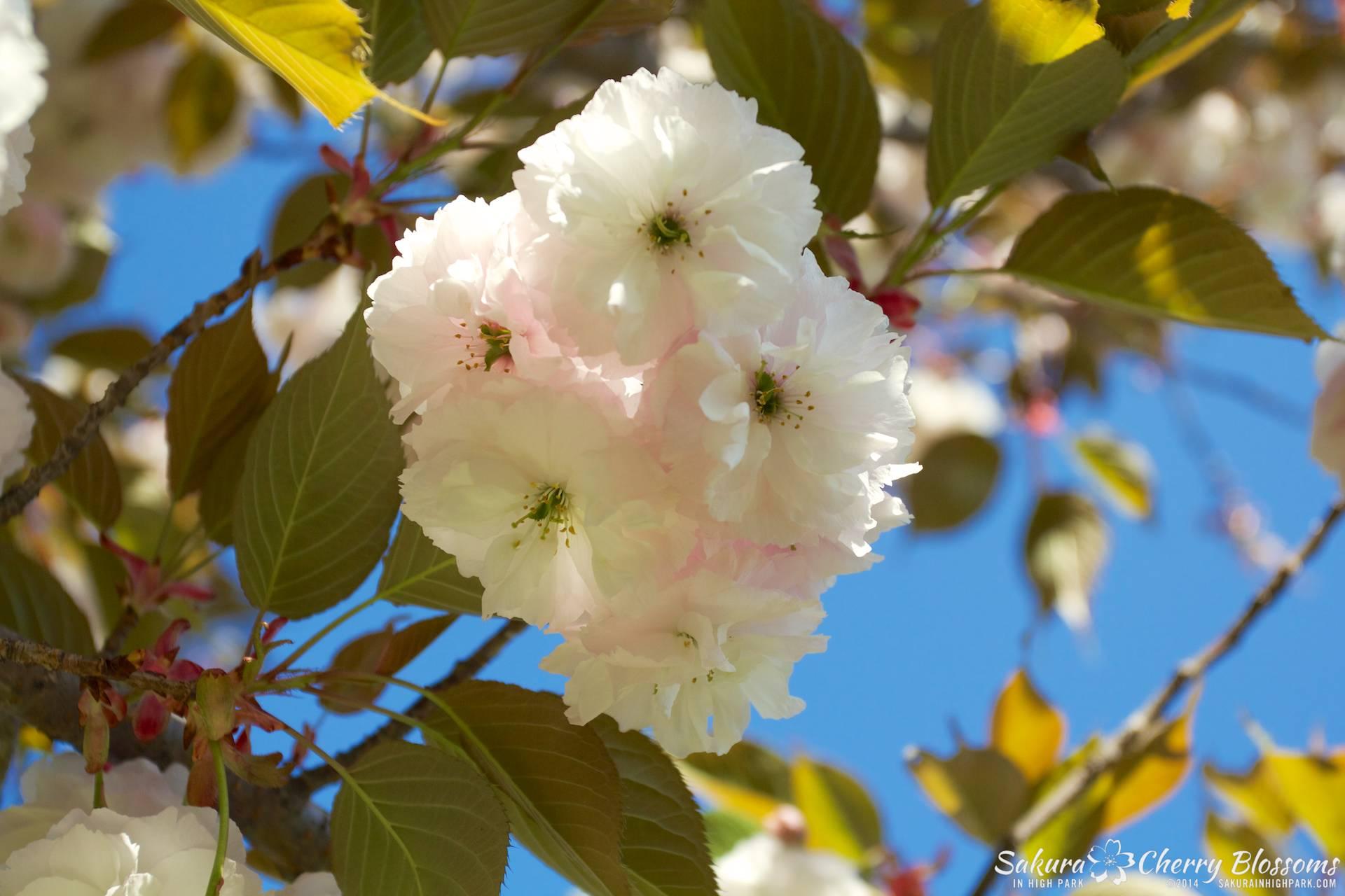 SakuraInHighPark-May2414-409.jpg