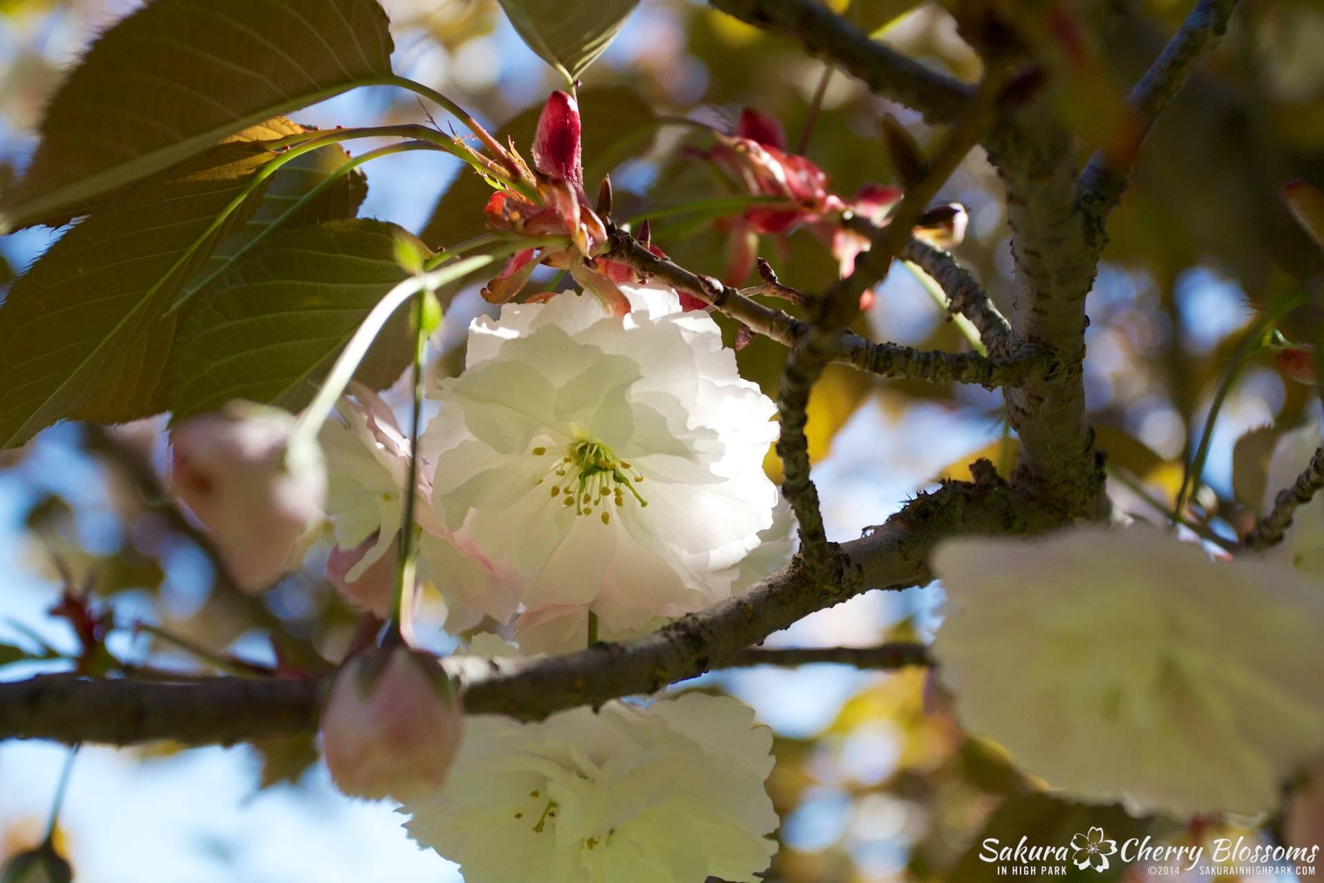 SakuraInHighPark-May2414-400.jpg