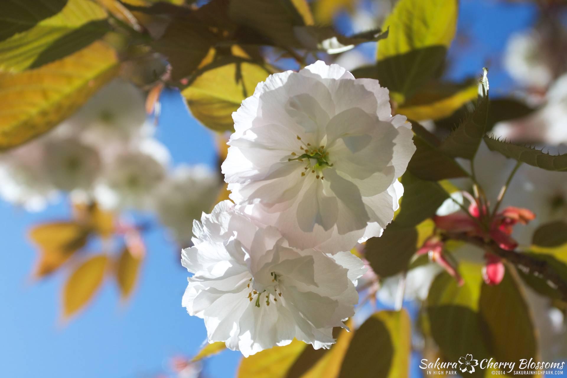 SakuraInHighPark-May2414-393.jpg