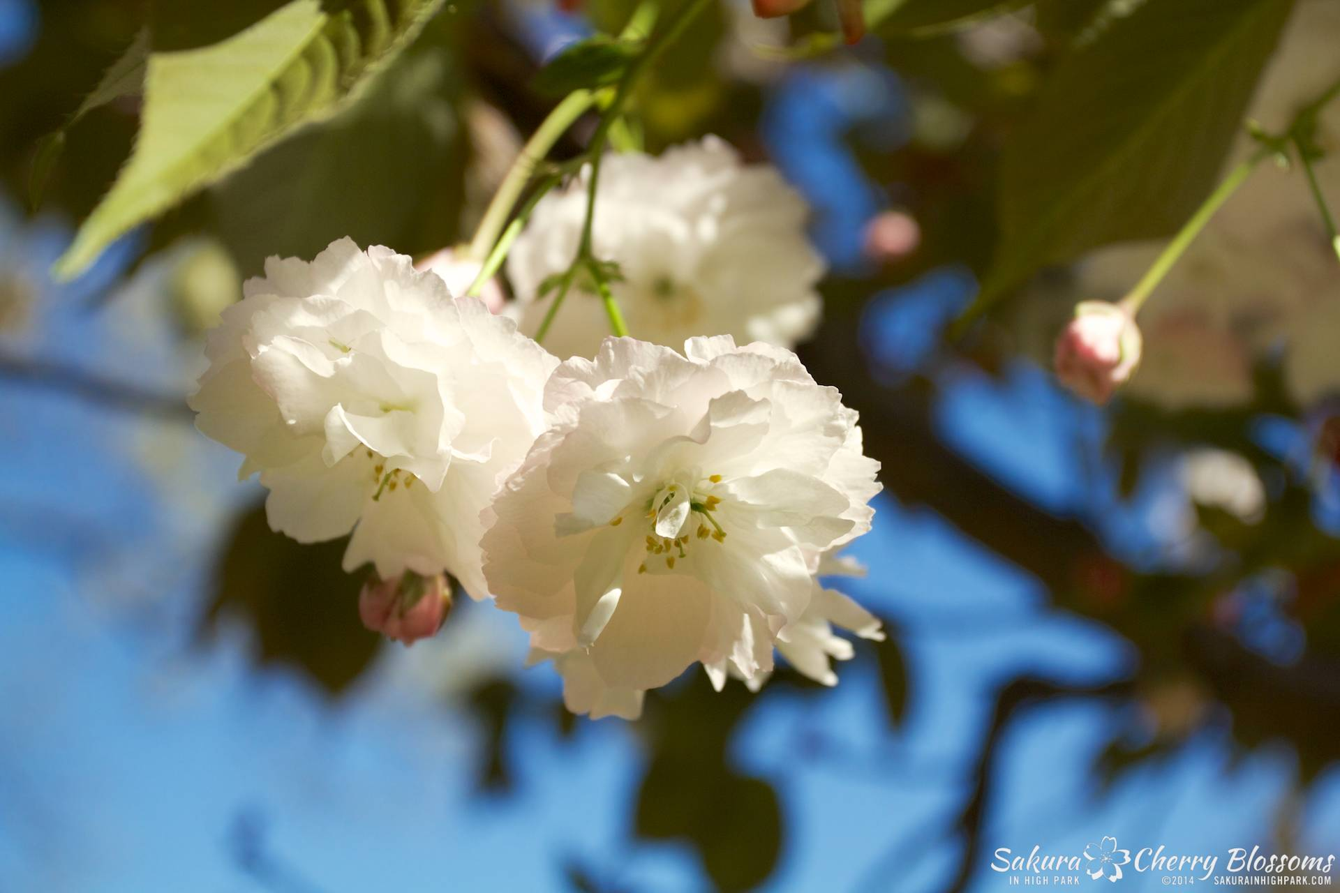 SakuraInHighPark-May2414-389.jpg