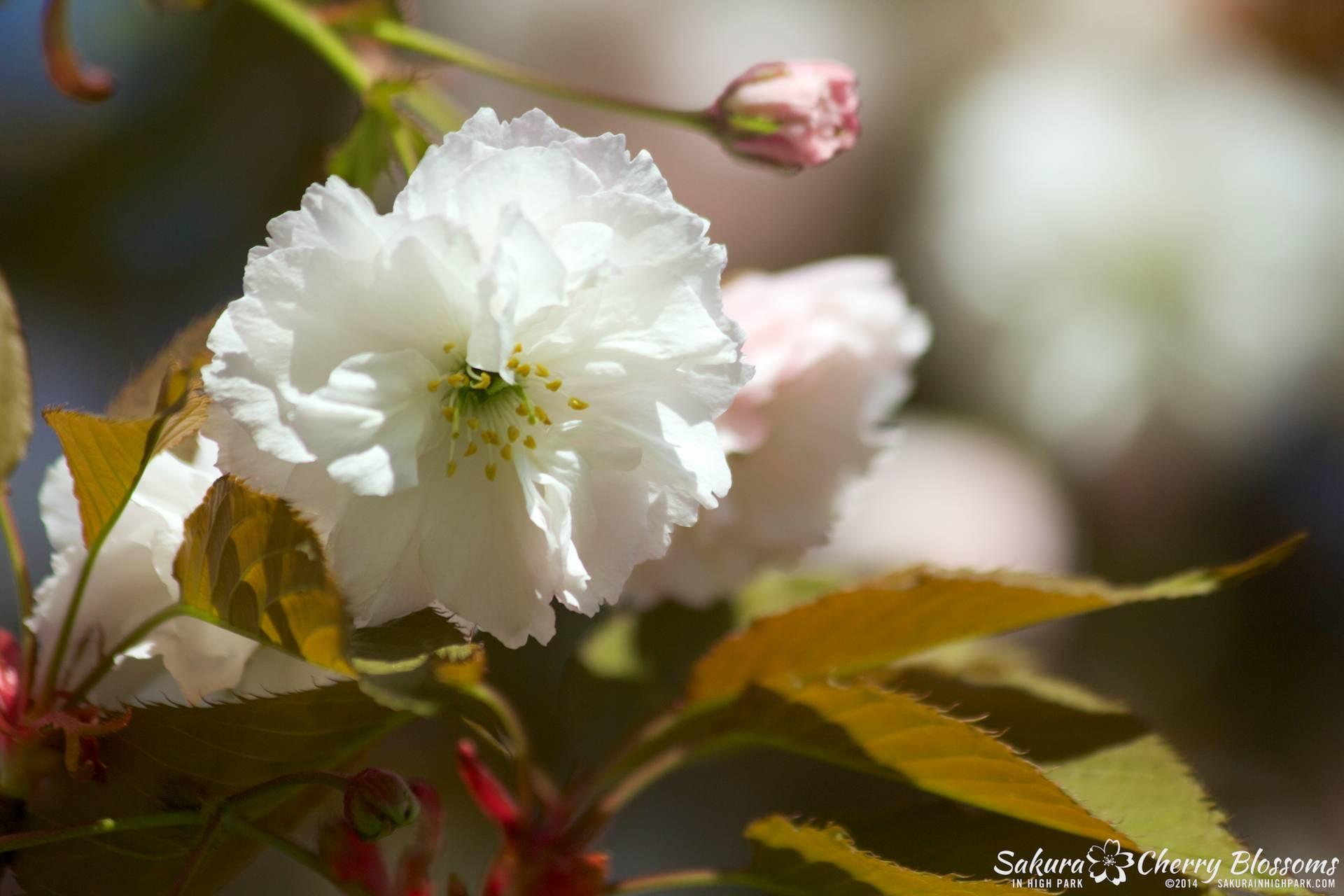 SakuraInHighPark-May2414-377.jpg