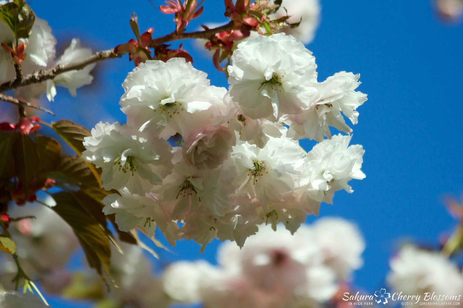 SakuraInHighPark-May2414-373.jpg