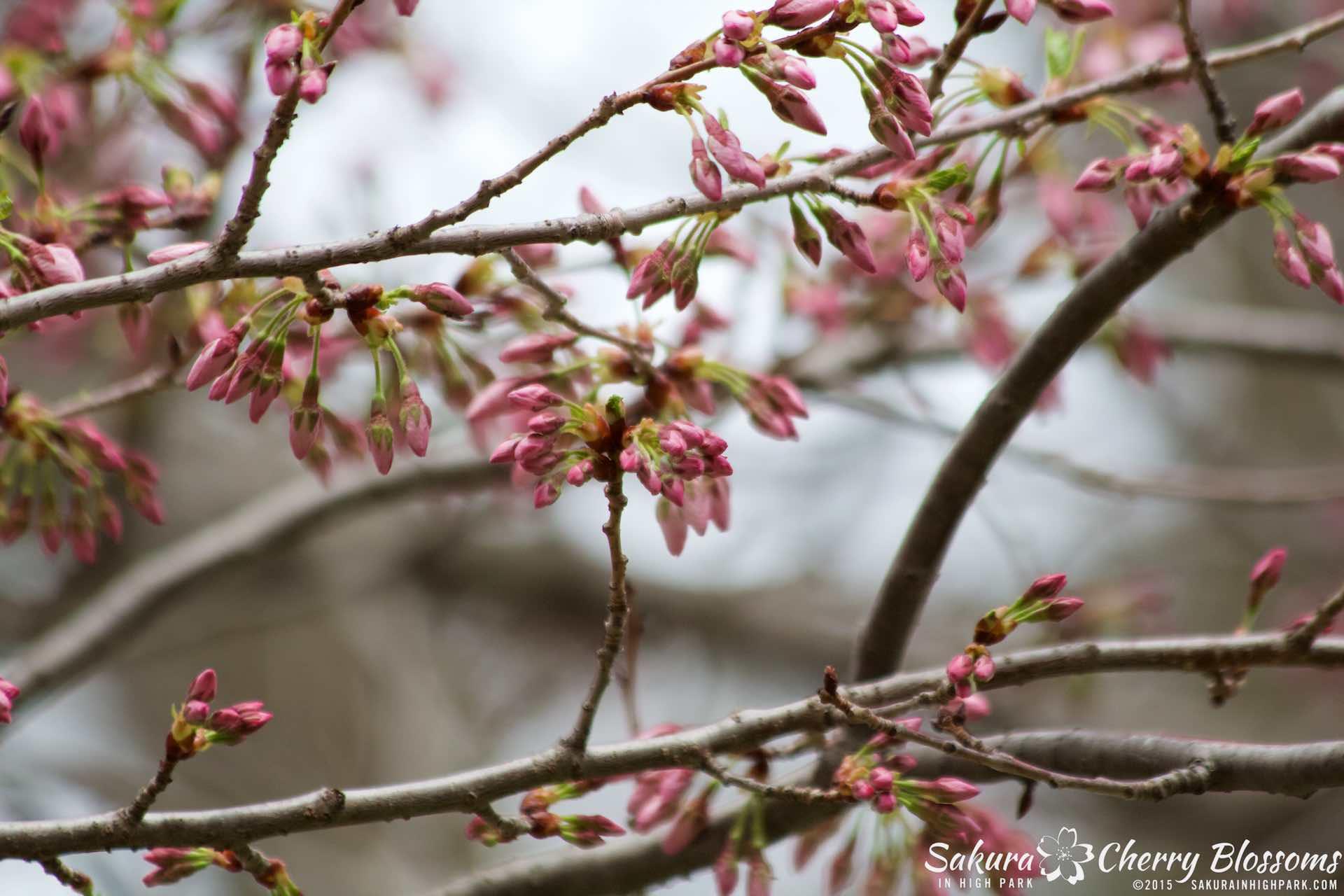 SakurainHighPark-May515-2031.jpg