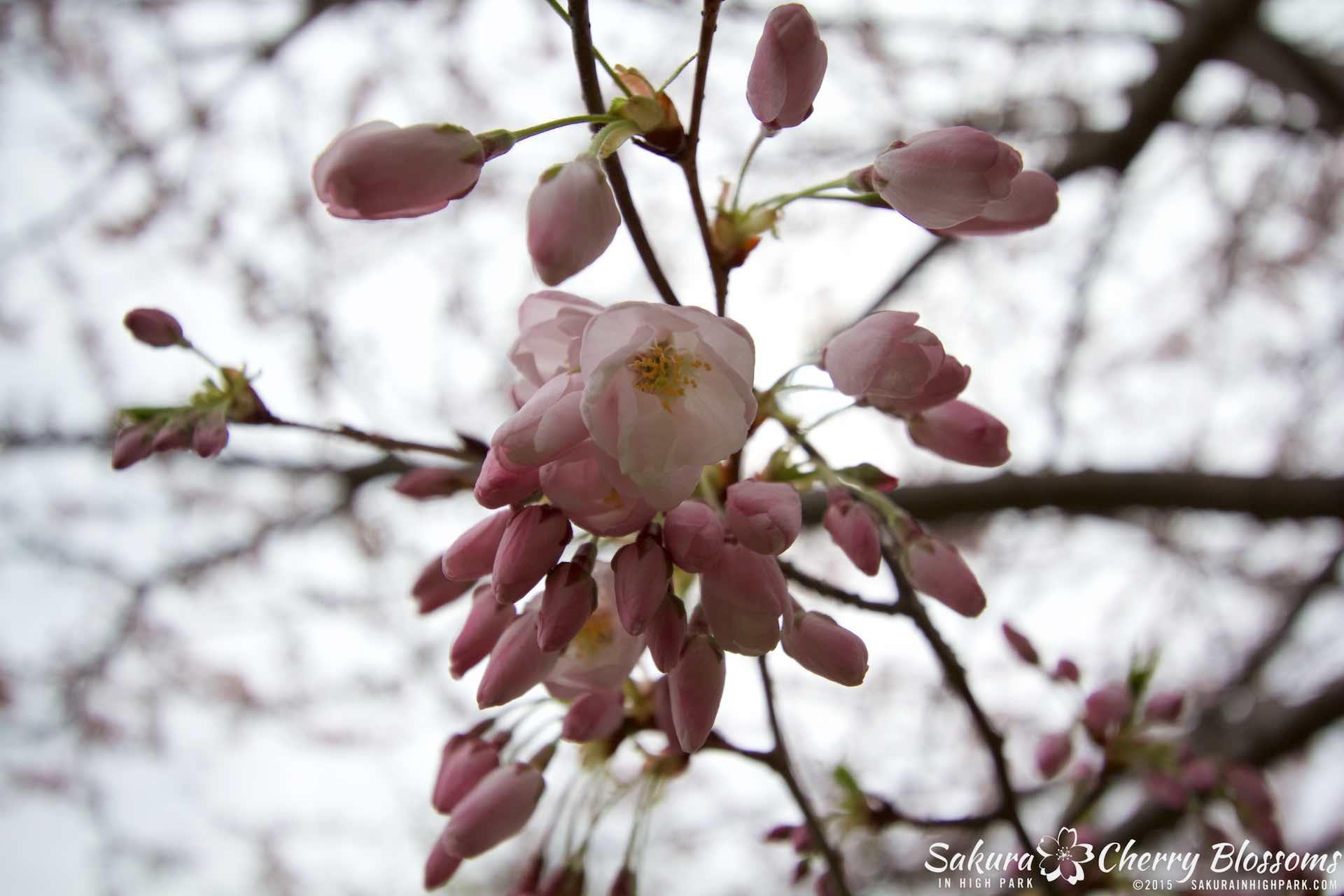 SakurainHighPark-May515-2059.jpg