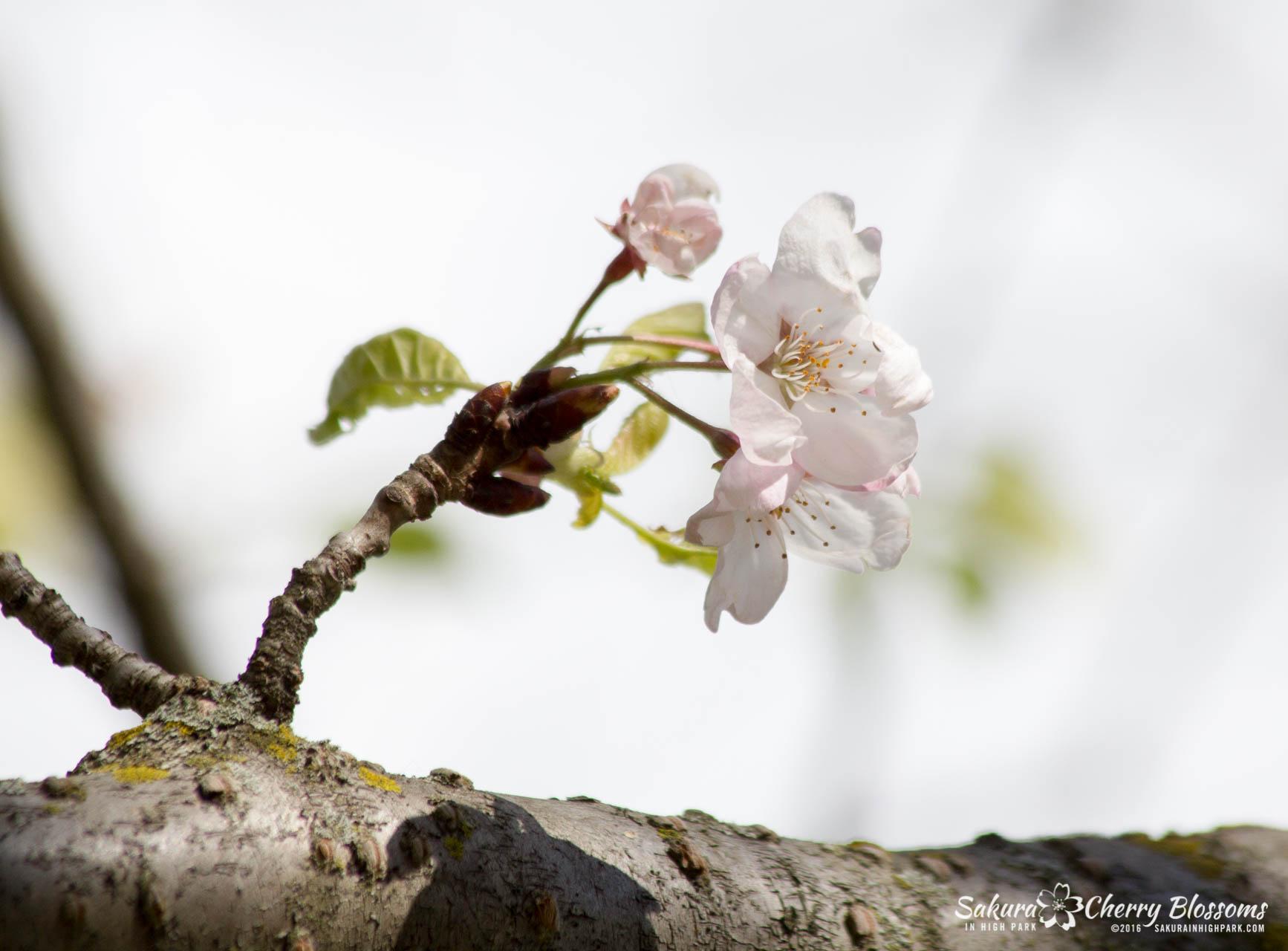 SakurainHighPark-May13-2016-281.jpg