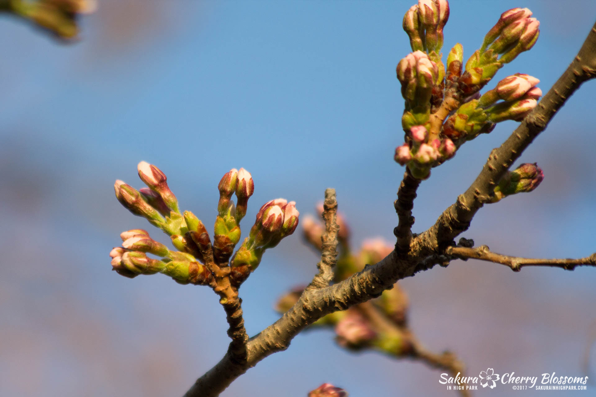 Sakura-in-High-Park-April-17-2017-florets-are-emerging-from-the-buds-throughout-the-park-83.jpg