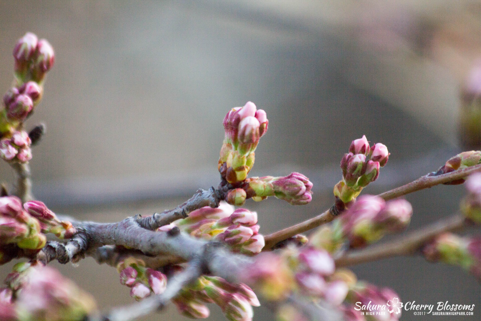 Sakura-in-High-Park-April-17-2017-florets-are-emerging-from-the-buds-throughout-the-park-20.jpg