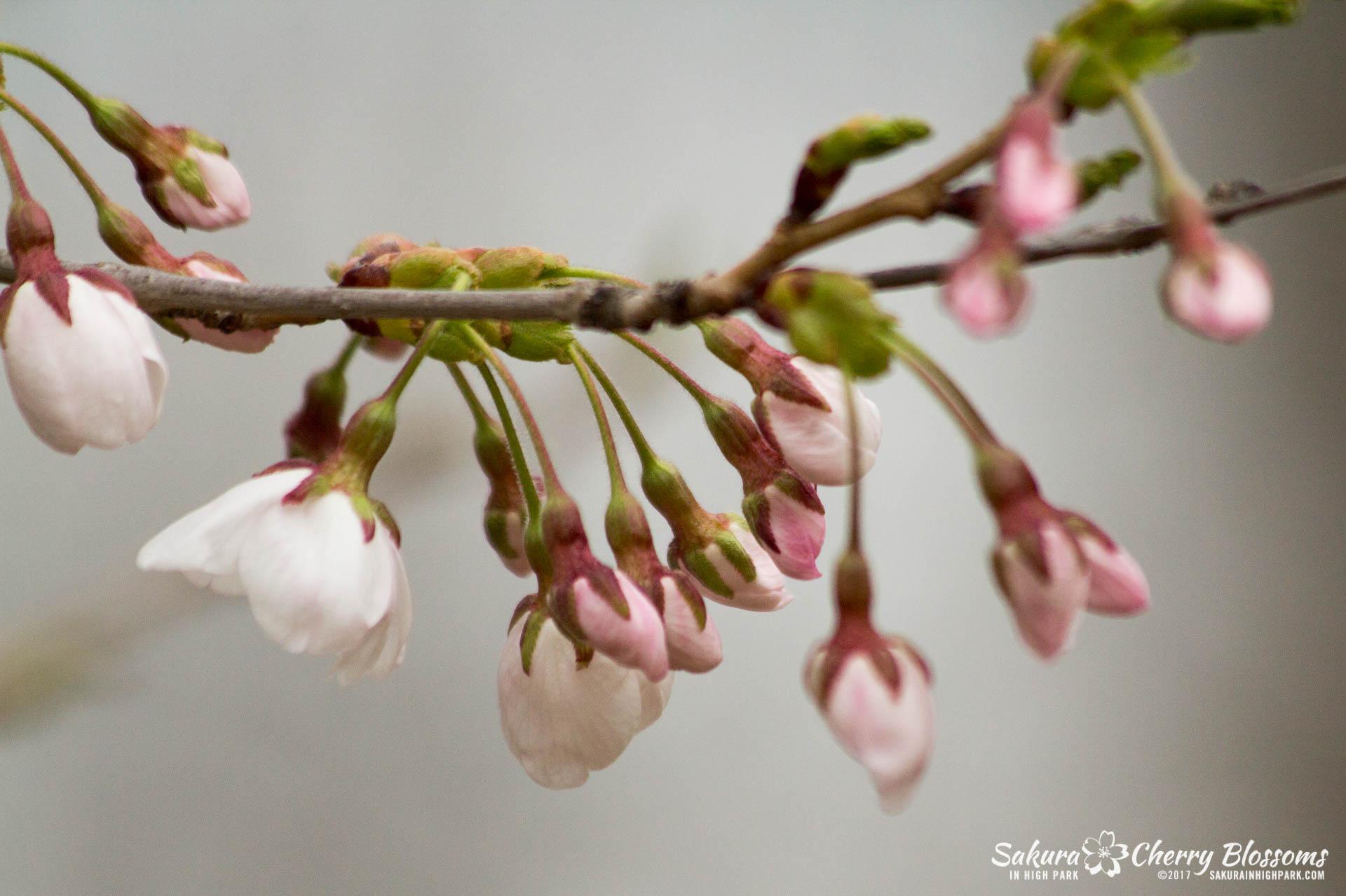 Sakura-Watch-April-21-2017-bloom-still-in-early-stages-66.jpg