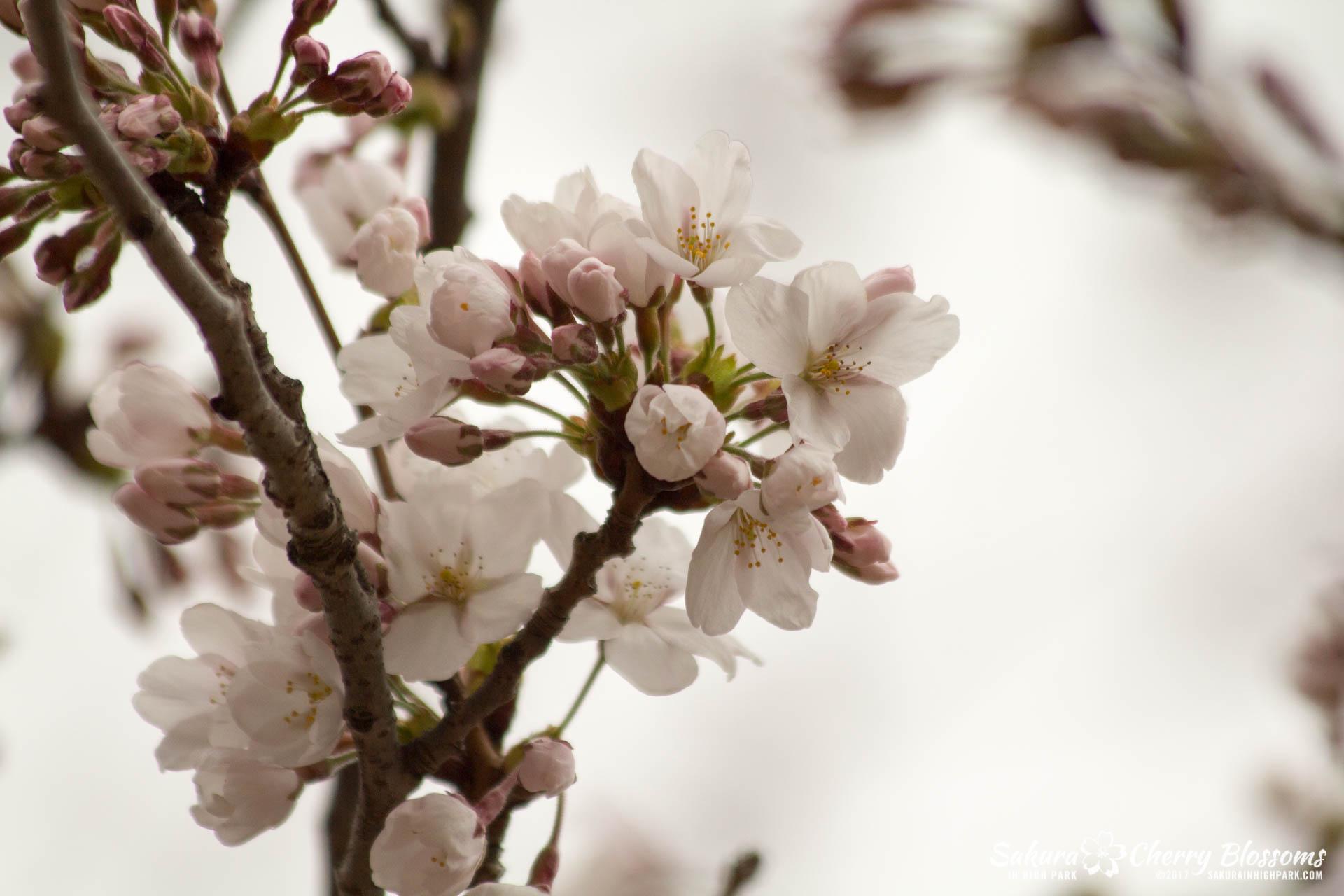 Sakura-Watch-April-21-2017-bloom-still-in-early-stages-64.jpg