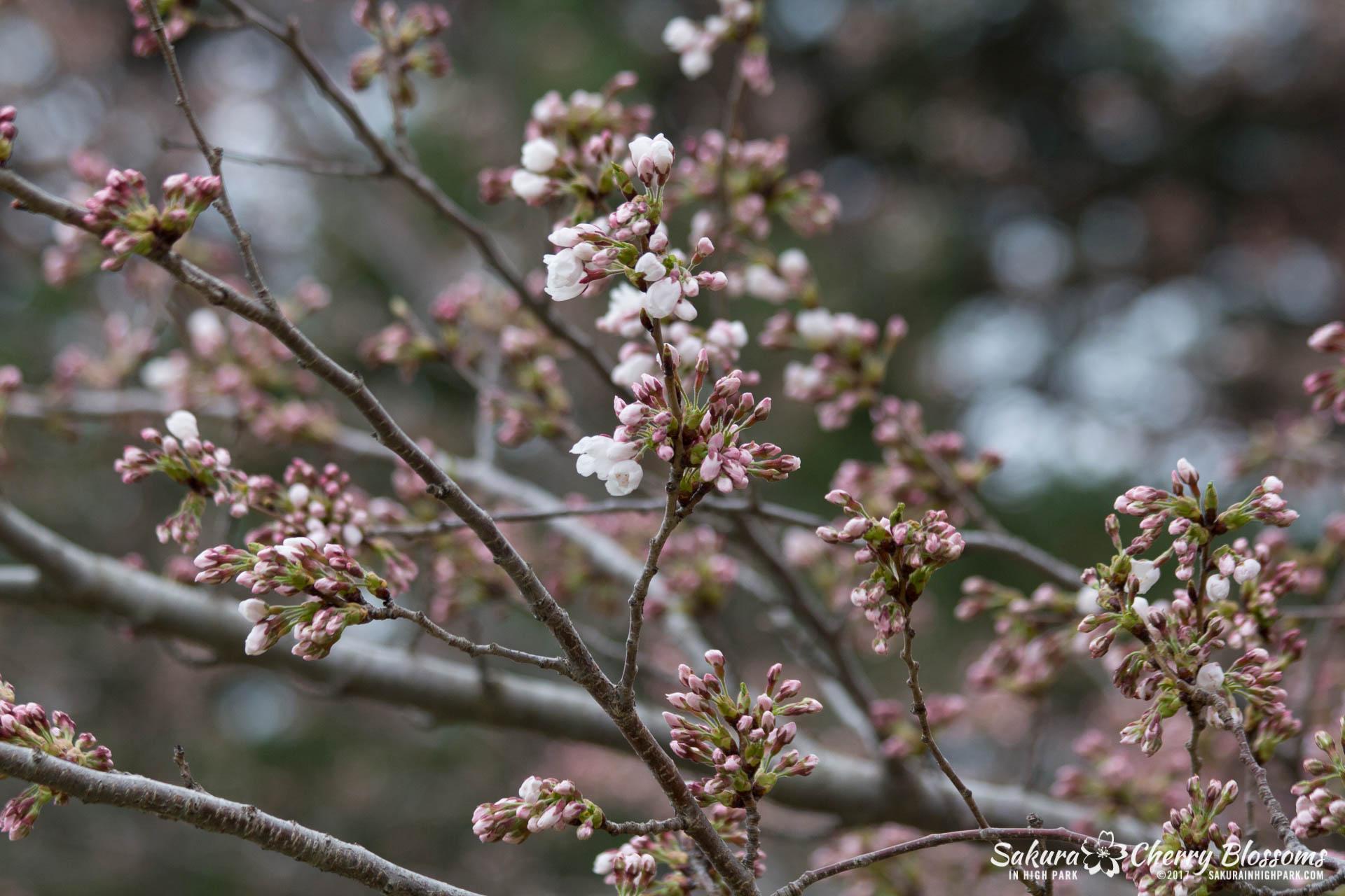 Sakura-Watch-April-21-2017-bloom-still-in-early-stages-47.jpg