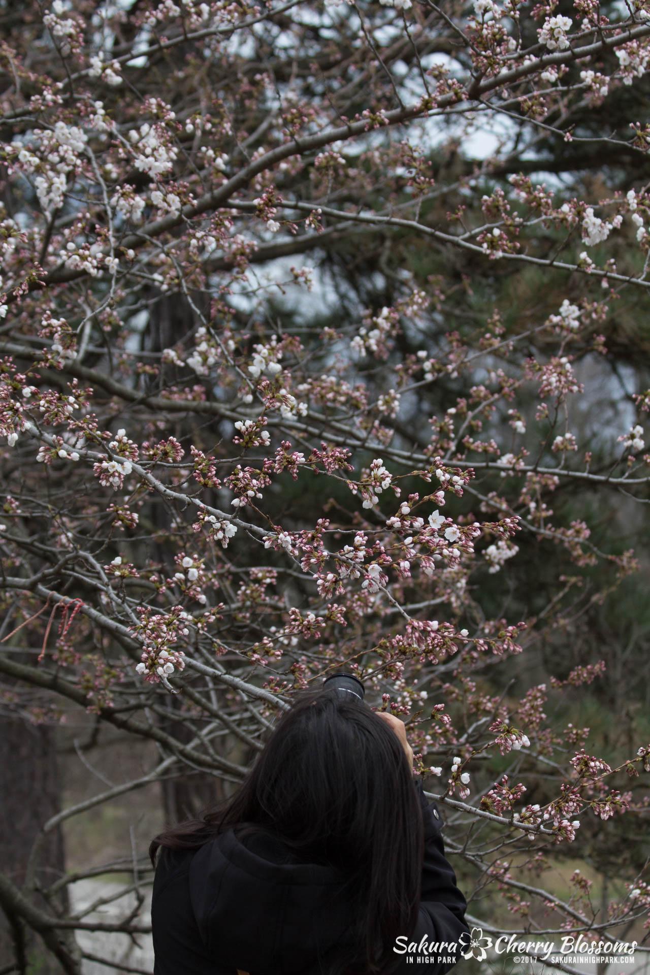 Sakura-Watch-April-21-2017-bloom-still-in-early-stages-30.jpg