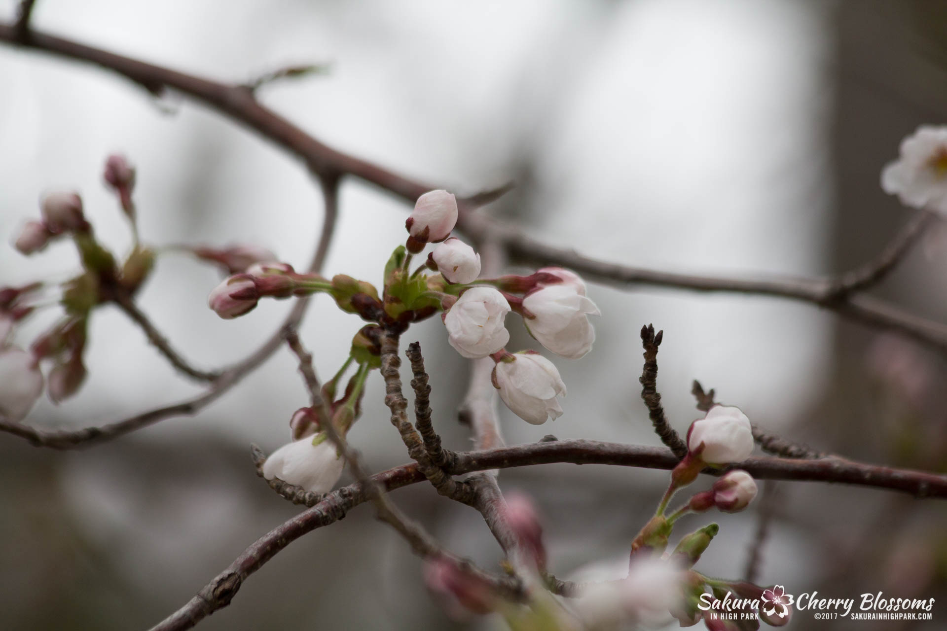 Sakura-Watch-April-21-2017-bloom-still-in-early-stages-37.jpg