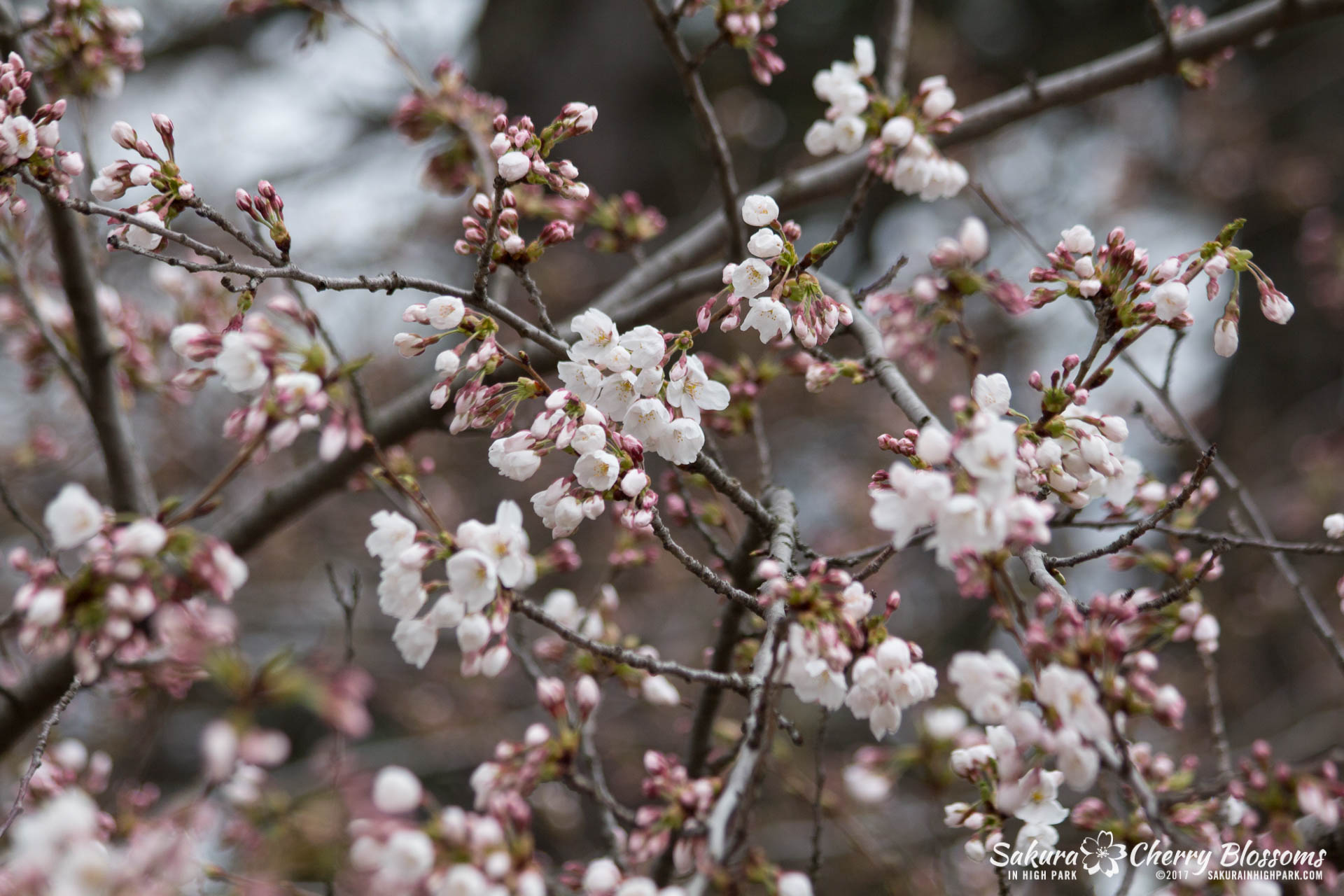 Sakura-Watch-April-21-2017-bloom-still-in-early-stages-23.jpg